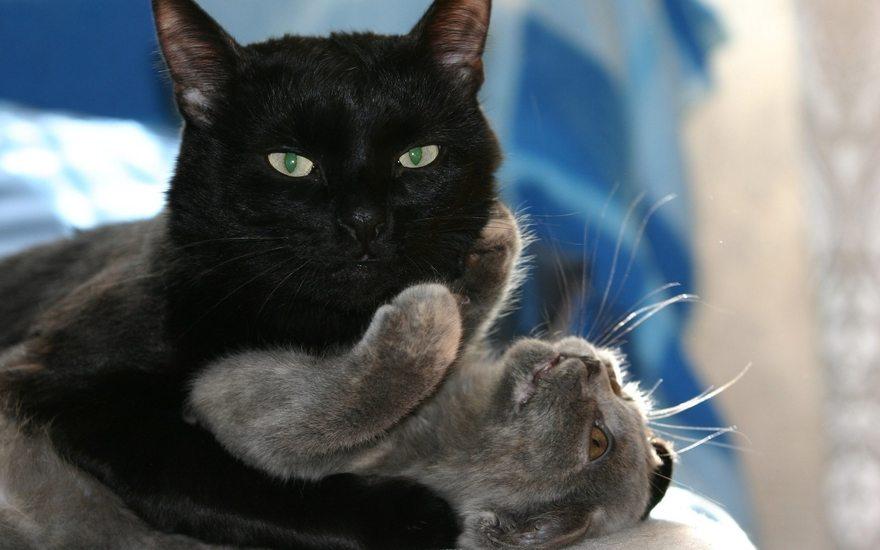 Картинка: Кот, чёрный, кошка, обнимает, играет, сверху, лежит, взгляд, глаза, усы