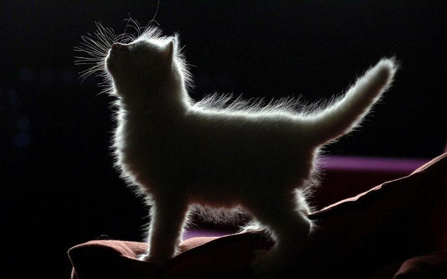 Картинка: Котёнок, профиль, силуэт, стоит, пушистый, светится, чёрный фон