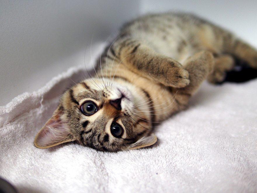Картинка: Котёнок, полосатый, кошка, лежит, лапки, глаза, мордочка, усы