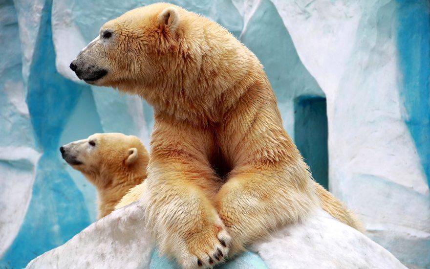 Картинка: Белый медведь, детёныш, хищник, морда, шерсть, профиль