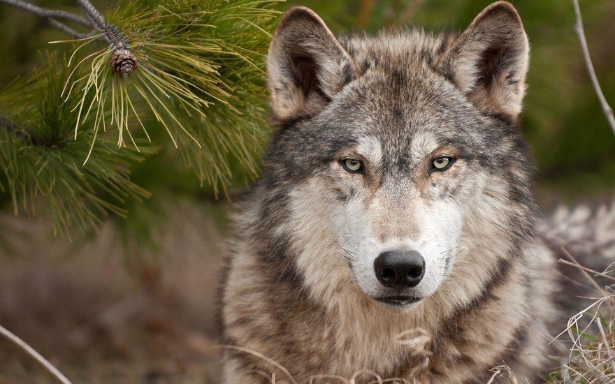 Картинка: Волк, хищник, морда, глаза, взгляд, ель