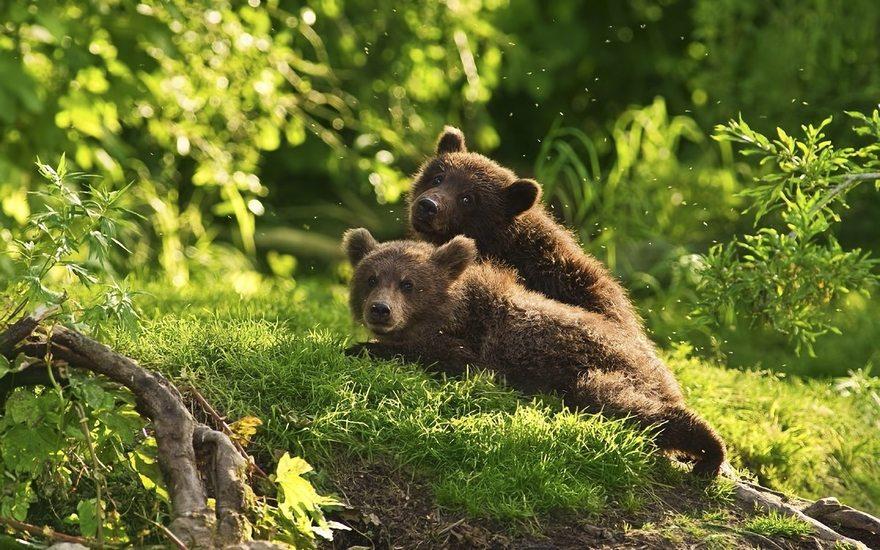 Картинка: Медвежата, два, хищник, лес, трава, деревья, лето, холм