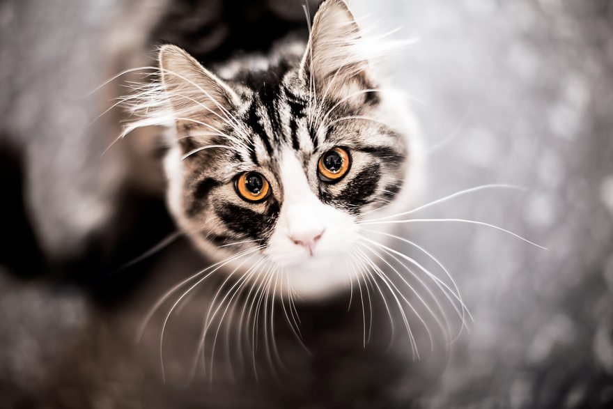 Картинка: Кошка, мордочка, глаза, взгляд, усы