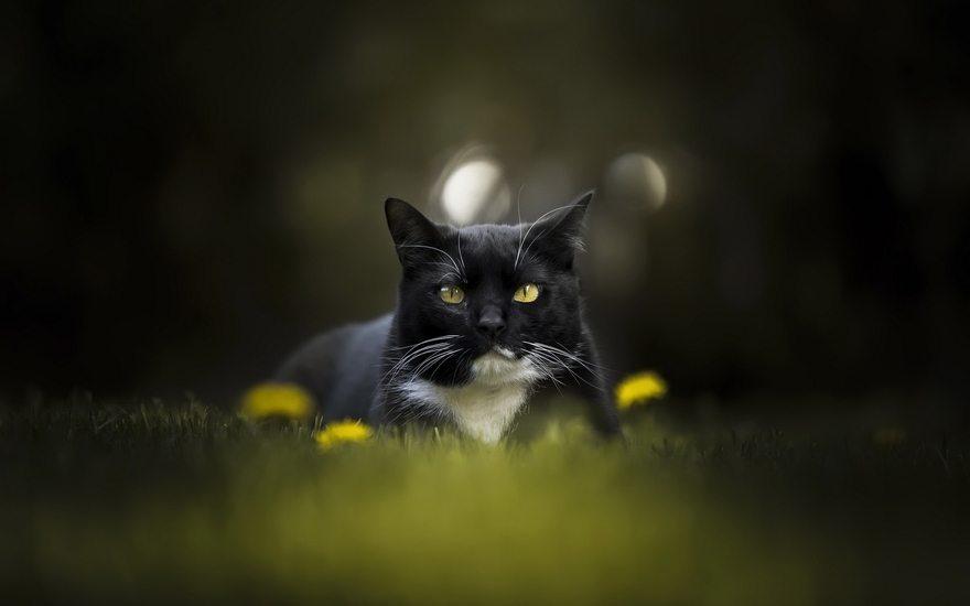 Картинка: Кот, чёрный, сидит, трава, одуванчики, морда, усы, белое пятно, блики, размытость, в центре