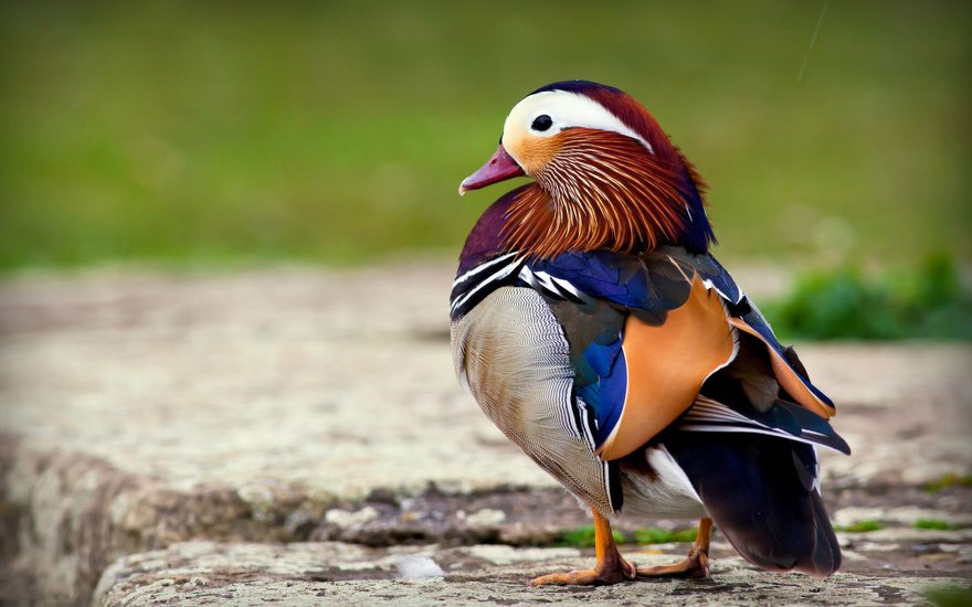 Картинка: Утка-мандаринка, птица, оперение, разноцветное, яркое