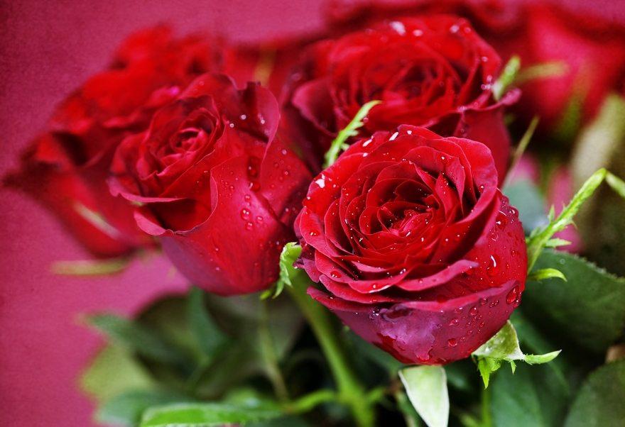 Картинка: Цветы, розы, лепестки, букет, капли, красные