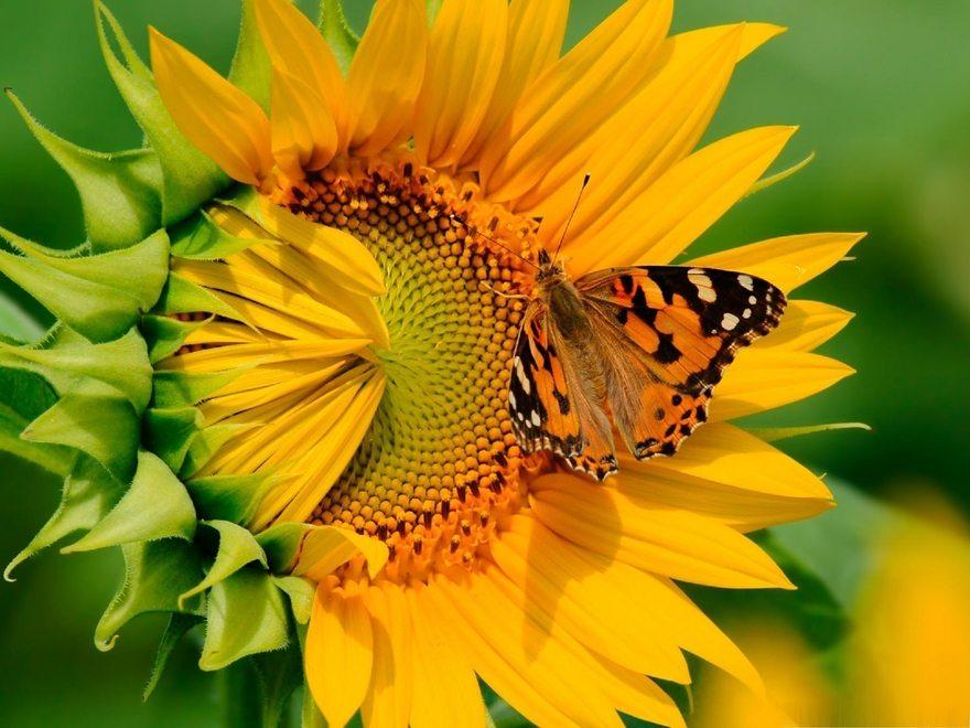 Картинка: Бабочка, сидит, подсолнух, цветок, жёлтый