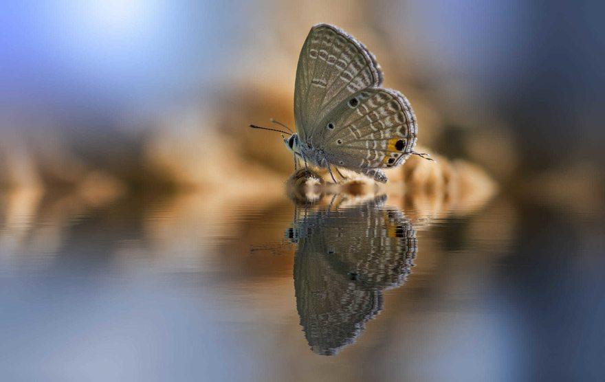 Картинка: Бабочка, вода, сидит, отражение, размытость