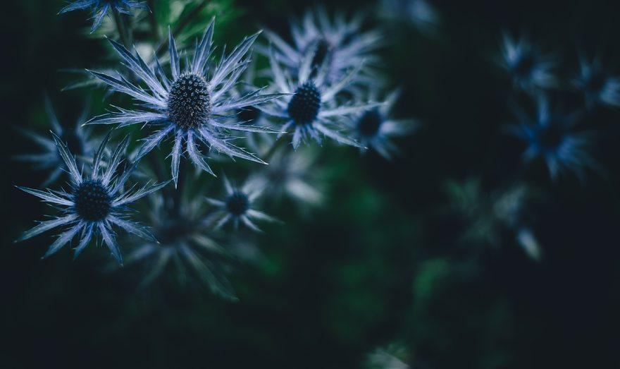 Картинка: Растение, Синеголовник, Эрингиум, колючий