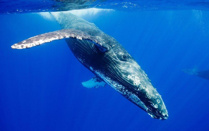 Картинка: Животное, Горбатый кит, кит, плавники, поверхность, ныряние, лучи, всплеск