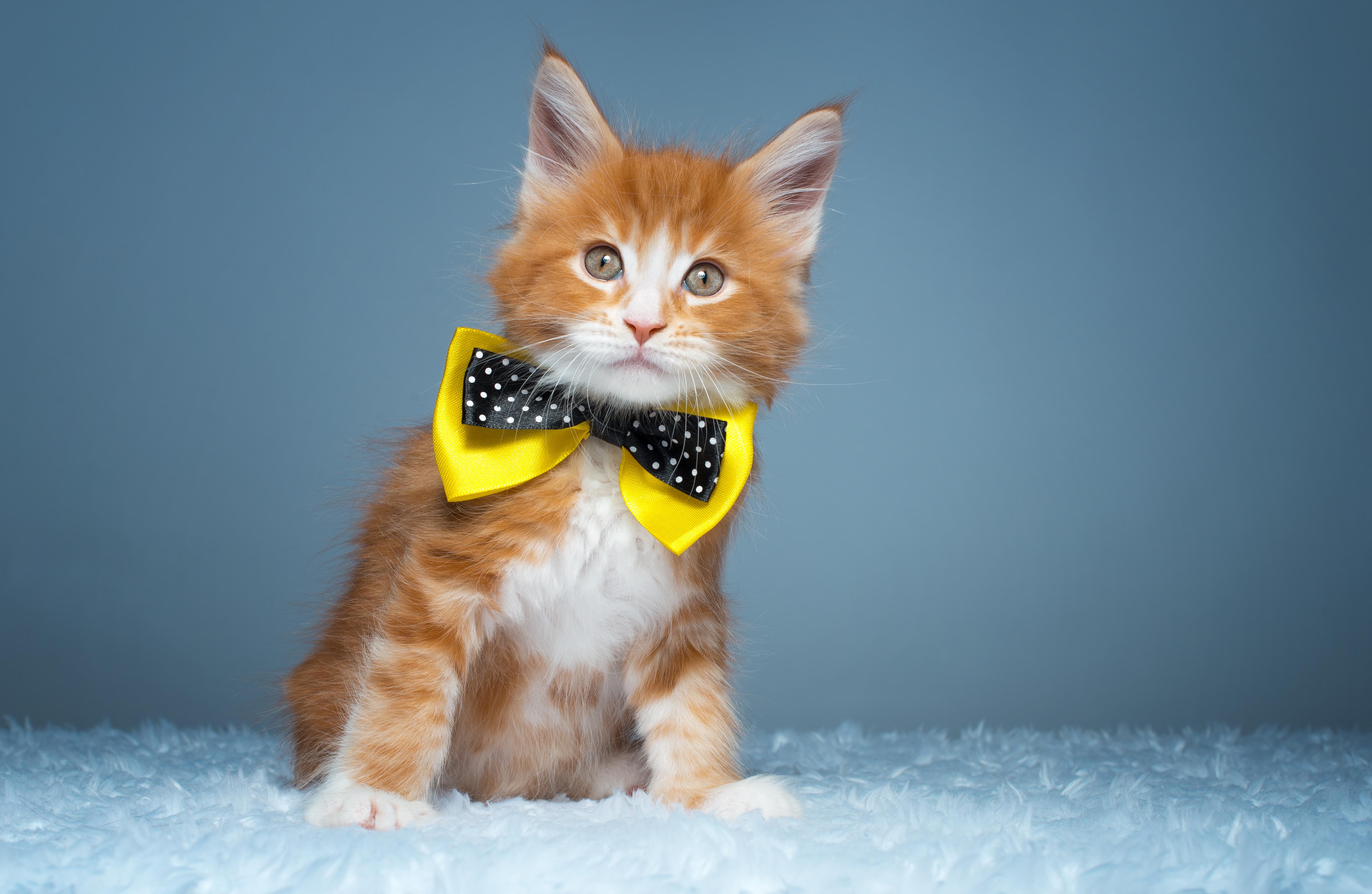 Картинка: Котик, рыжий, бантик, мех