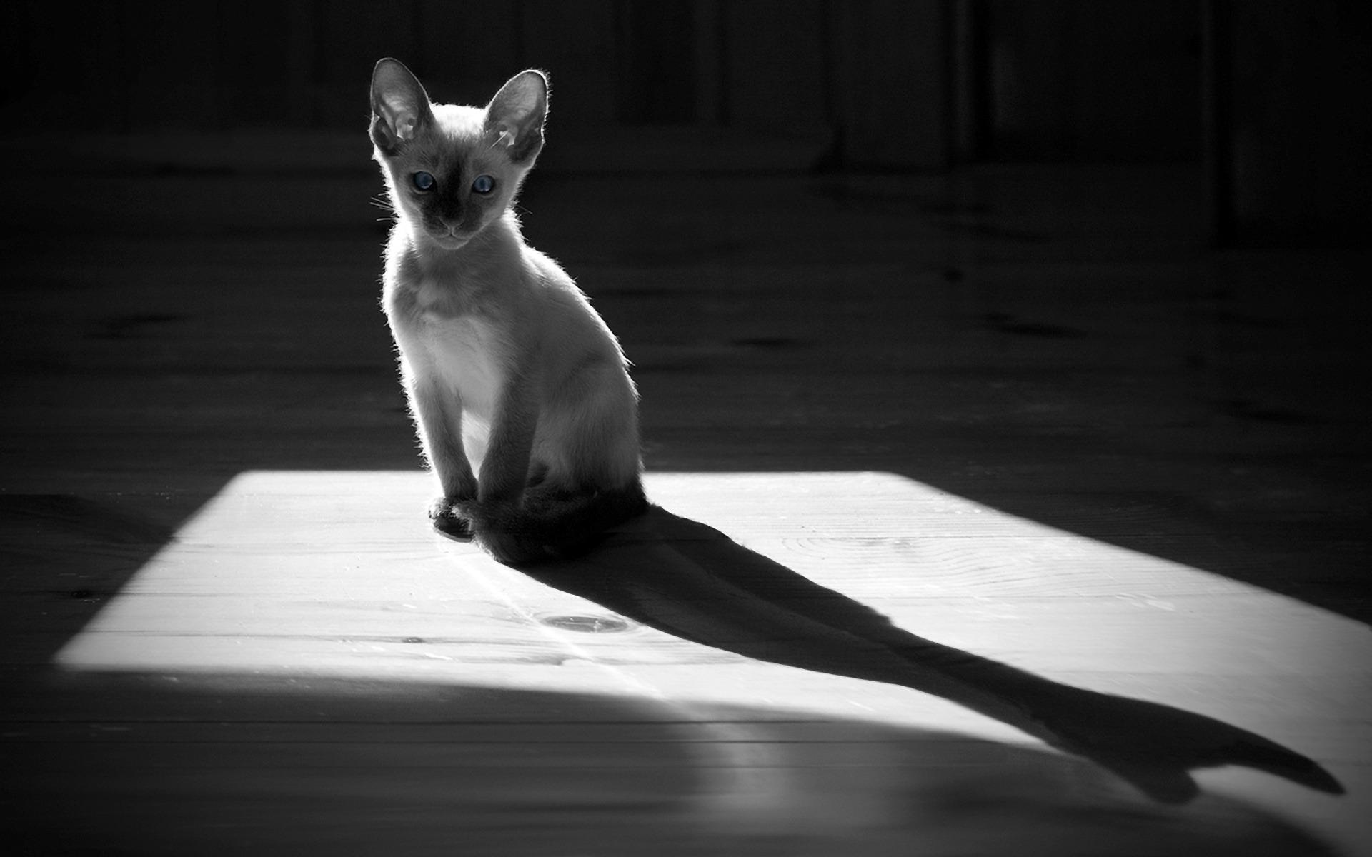 Картинка: Кошка, голубые глаза, тень, чёрно-белый