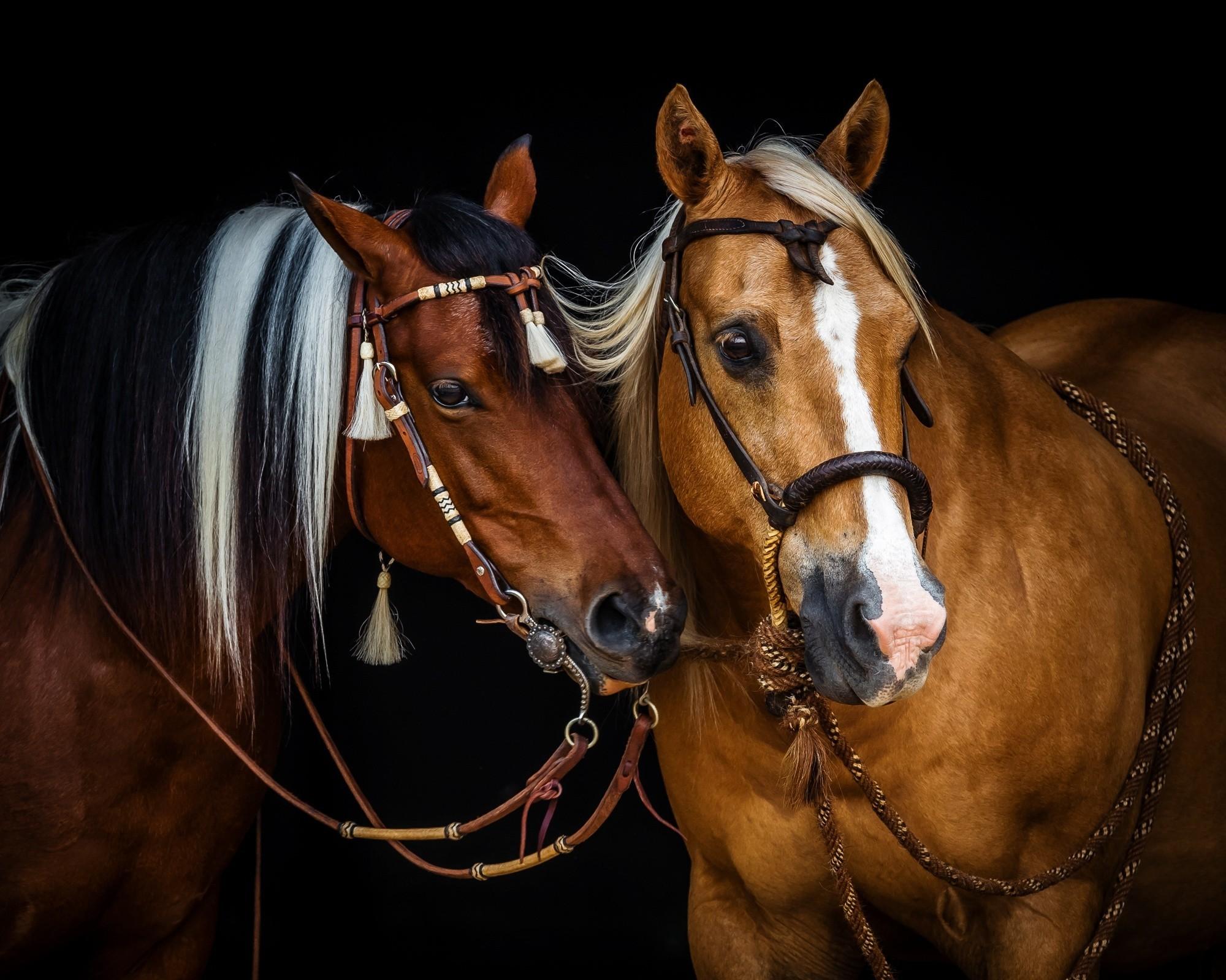 Image: Horses, two, beautiful, mane, bridle