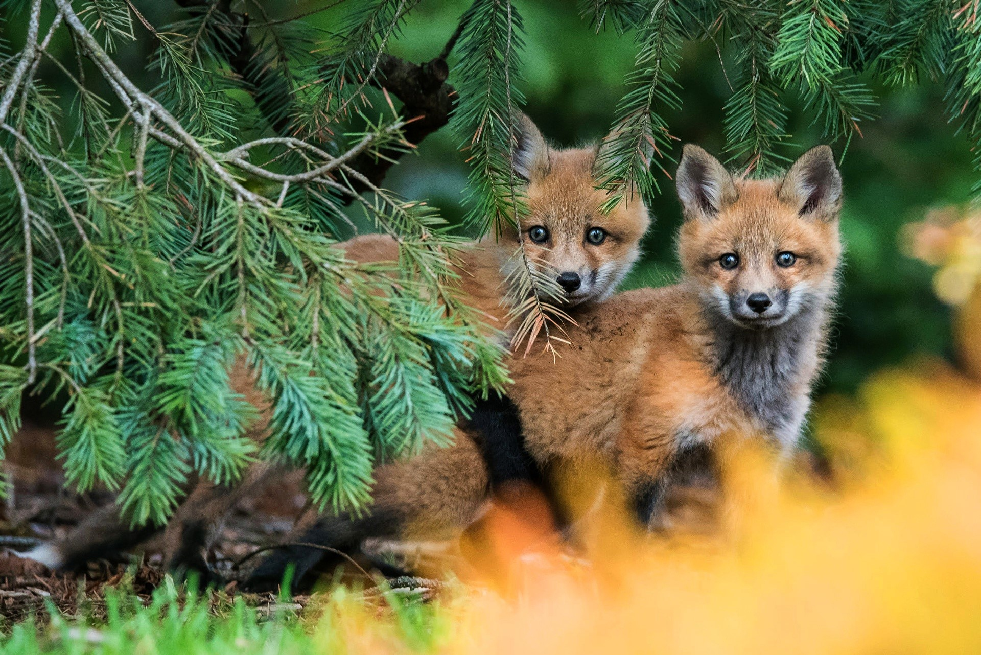 Image: Little fox, pine, spruce, look out