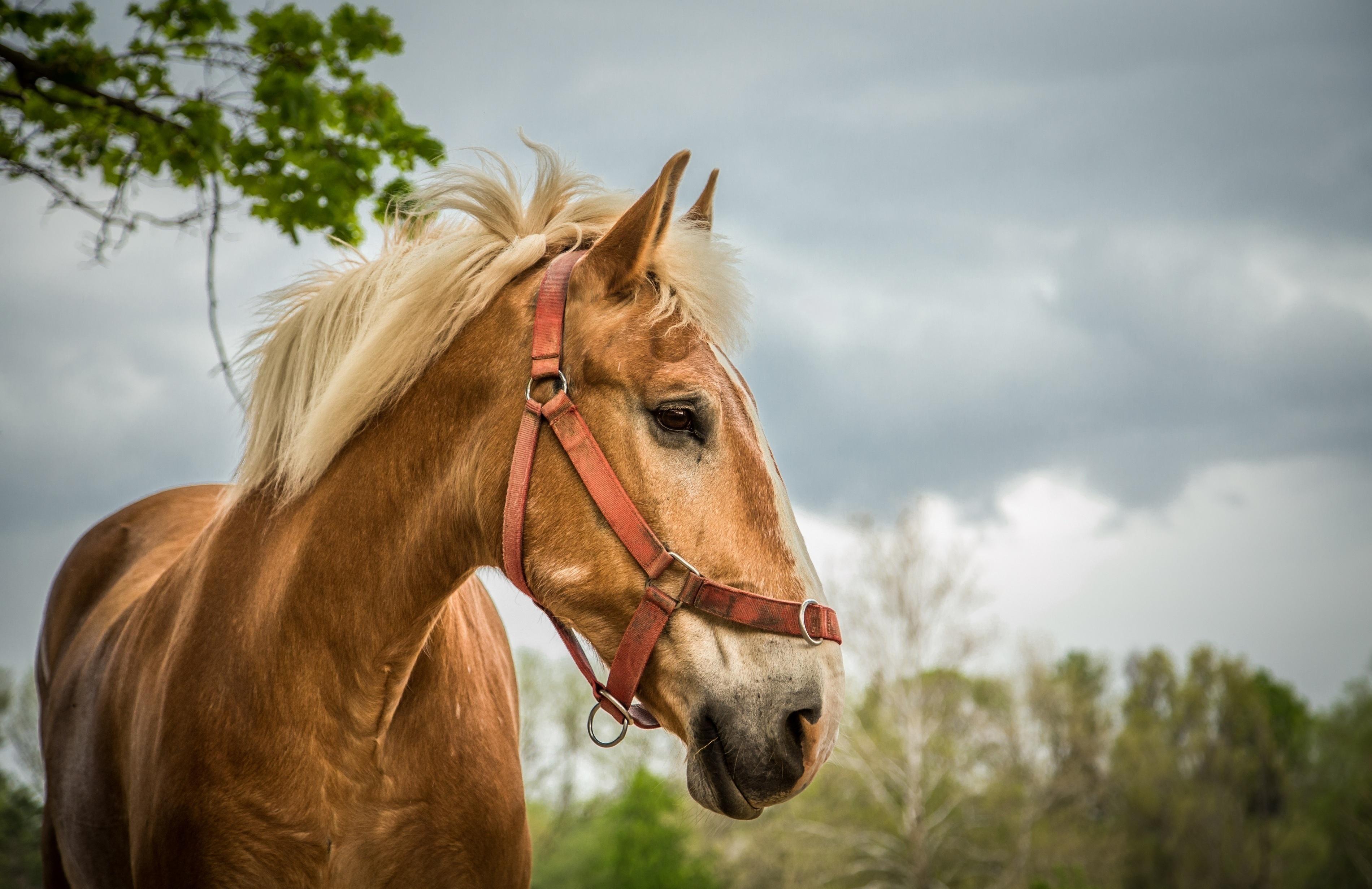 Image: Horse, muzzle, mane, eyes, trees, sky
