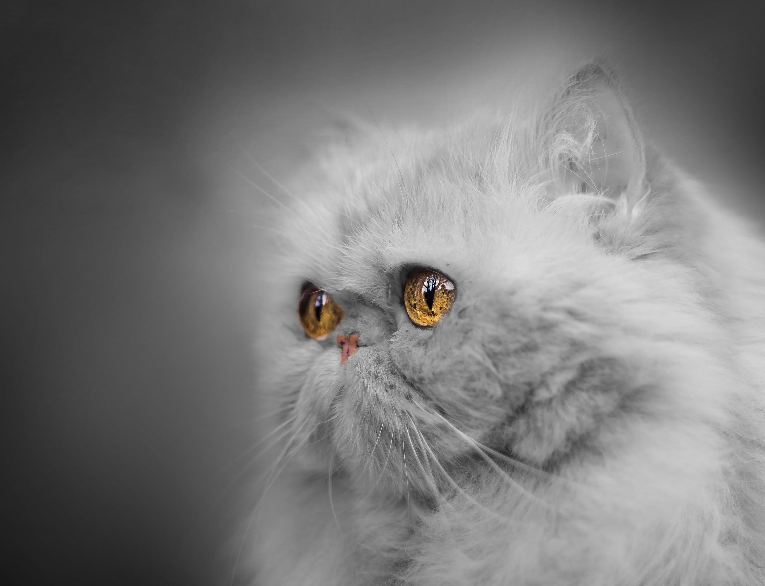 Image: Cat, white, eyes, look, muzzle