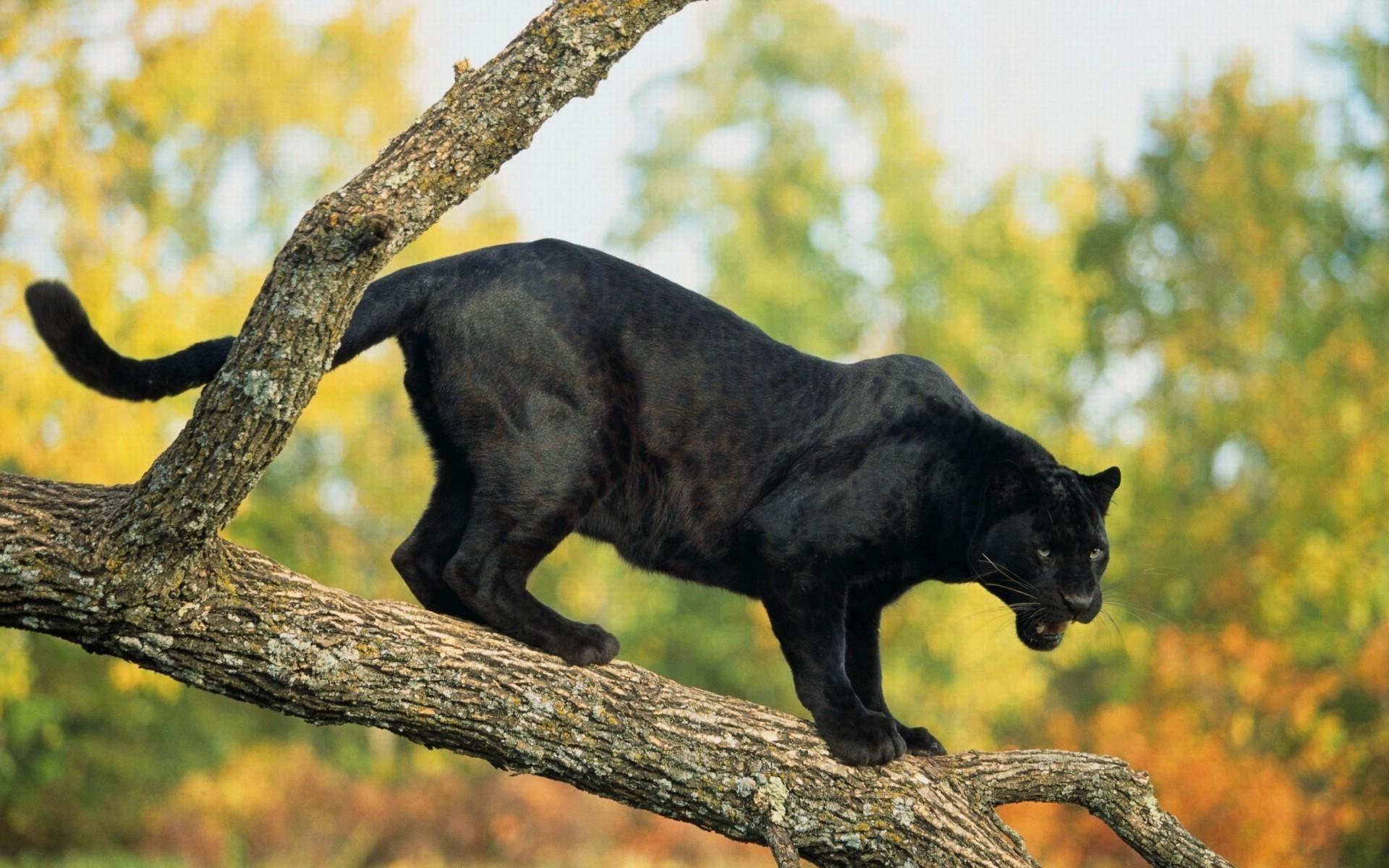 Image: Panther, cat, predator, leopard, tree, trunk, branch, black color
