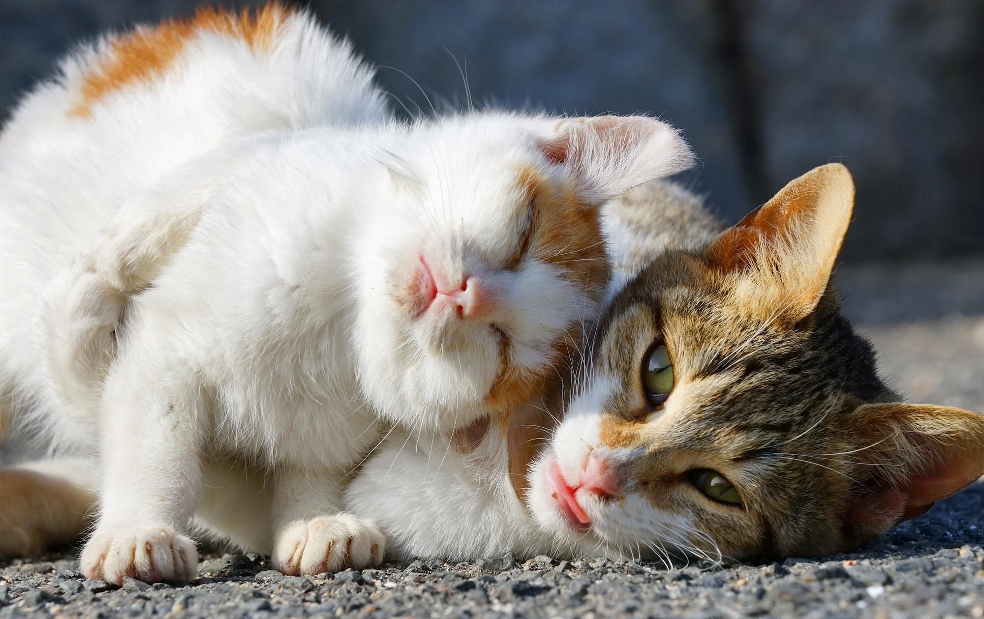 Картинка: Кошки, мордочки, нежится, две, солнце