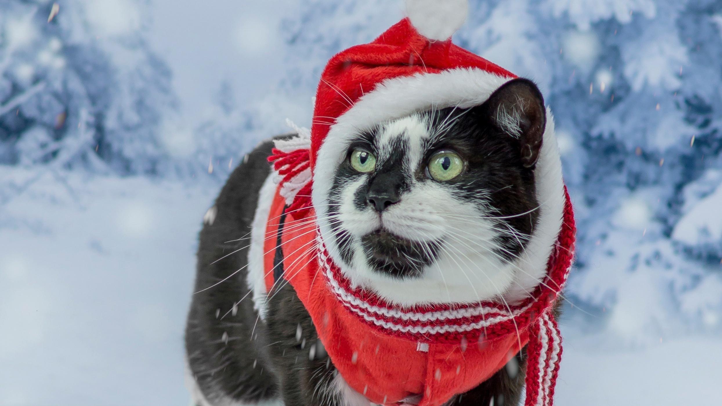 Картинка: Кот, чёрно-белый, шапка, красная, зима, снег