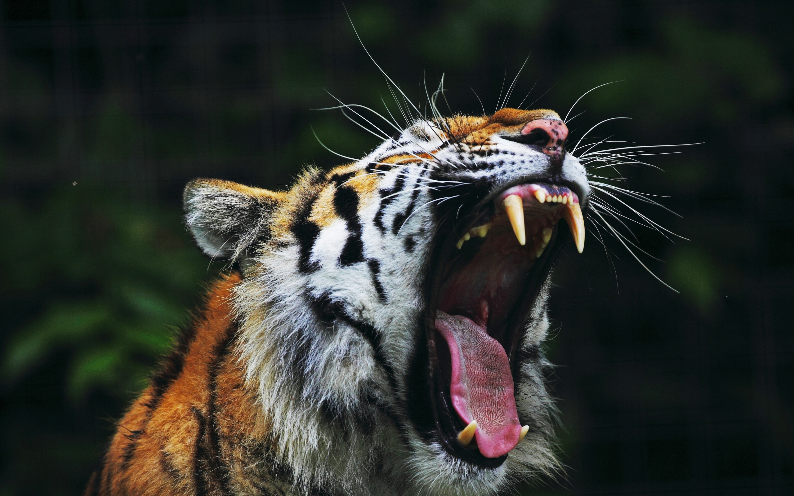 Image: Tiger, Grace, Beauty