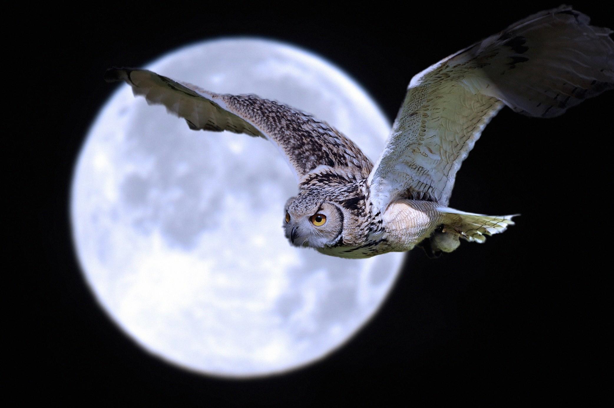 Картинка: Сова, луна, полнолуние, ночь, свет, летит