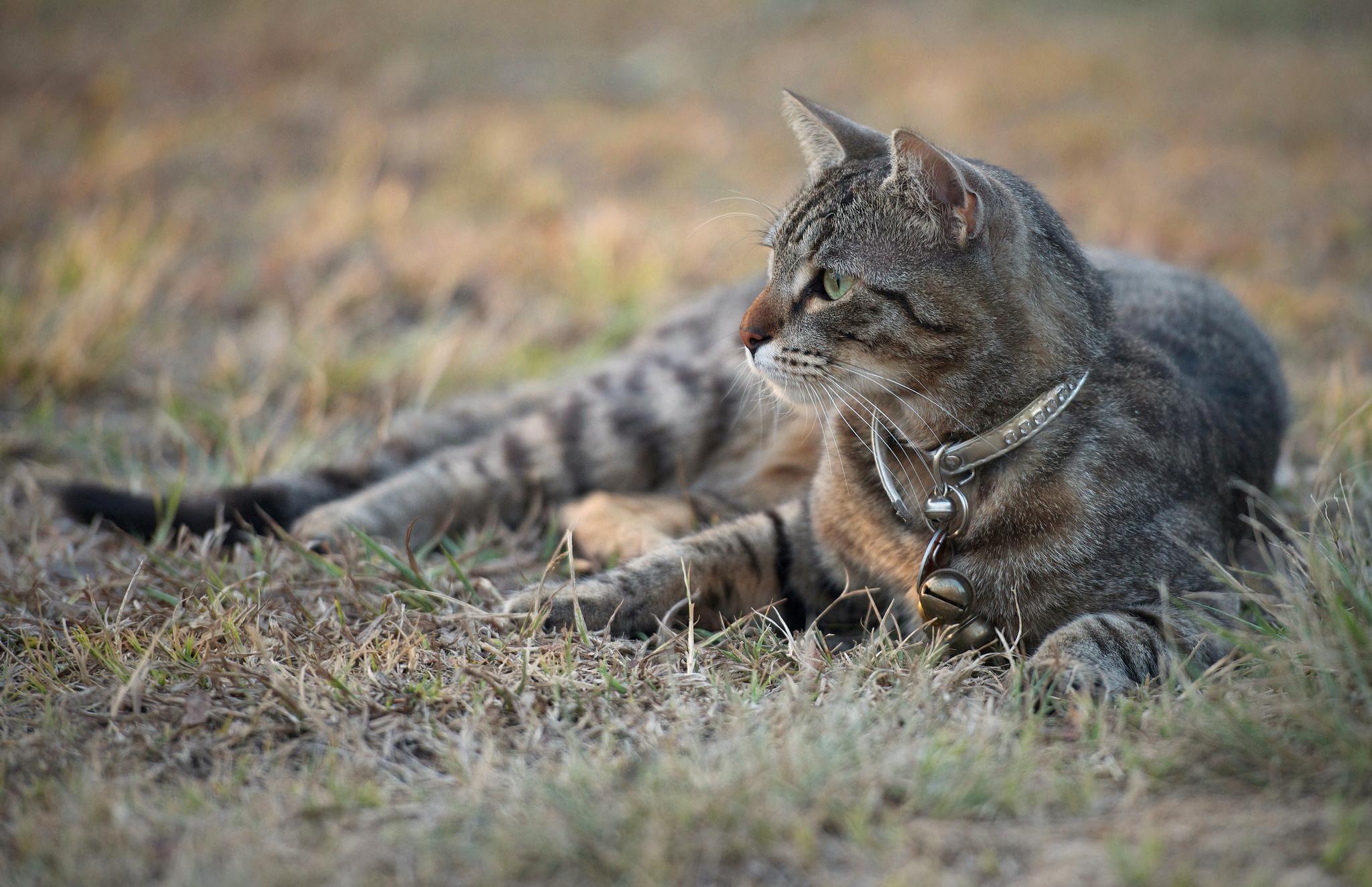 Картинка: Кошка, лежит, трава, смотрит, ошейник