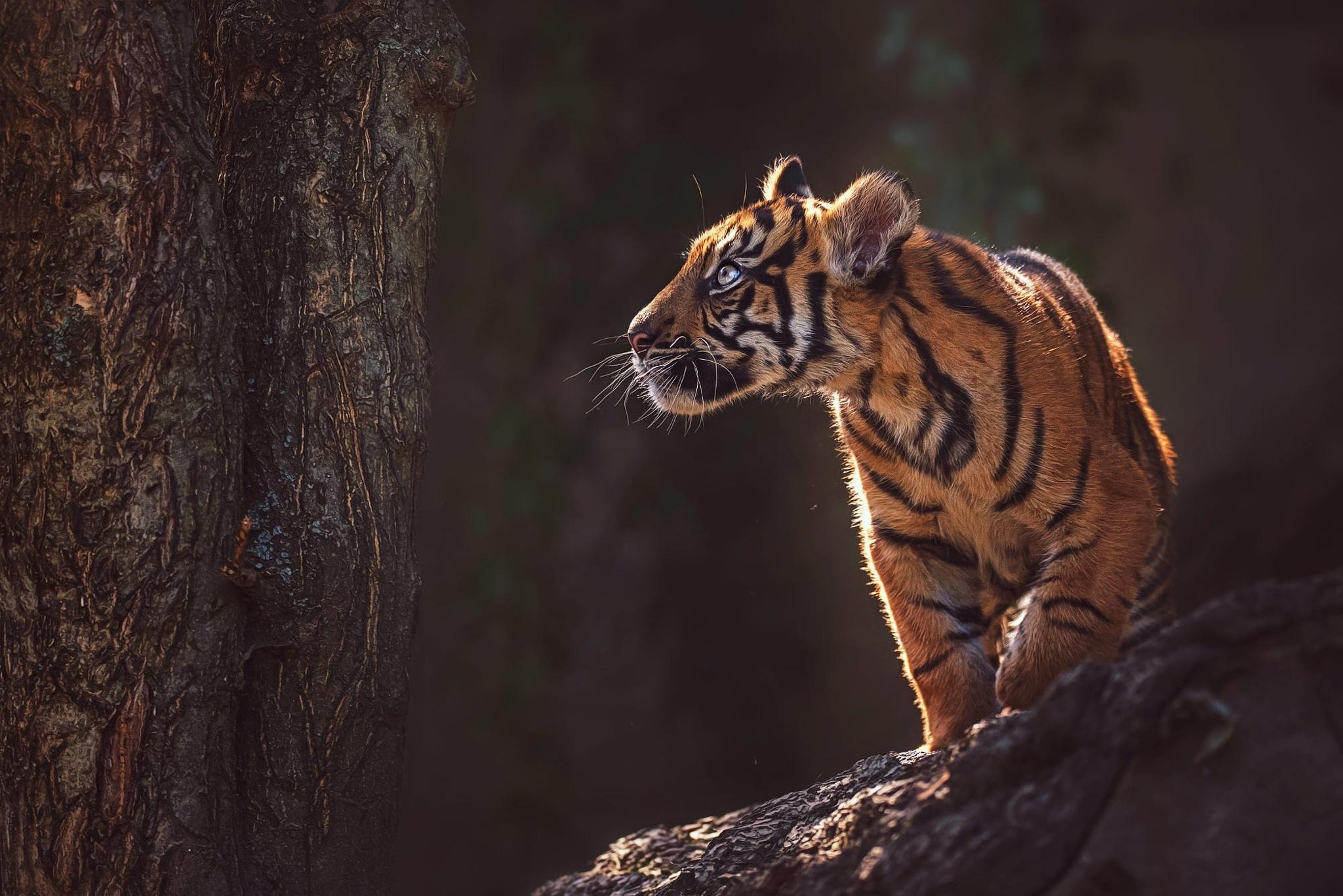 Картинка: Тигр, тигрёнок, малыш, хищник, полоски