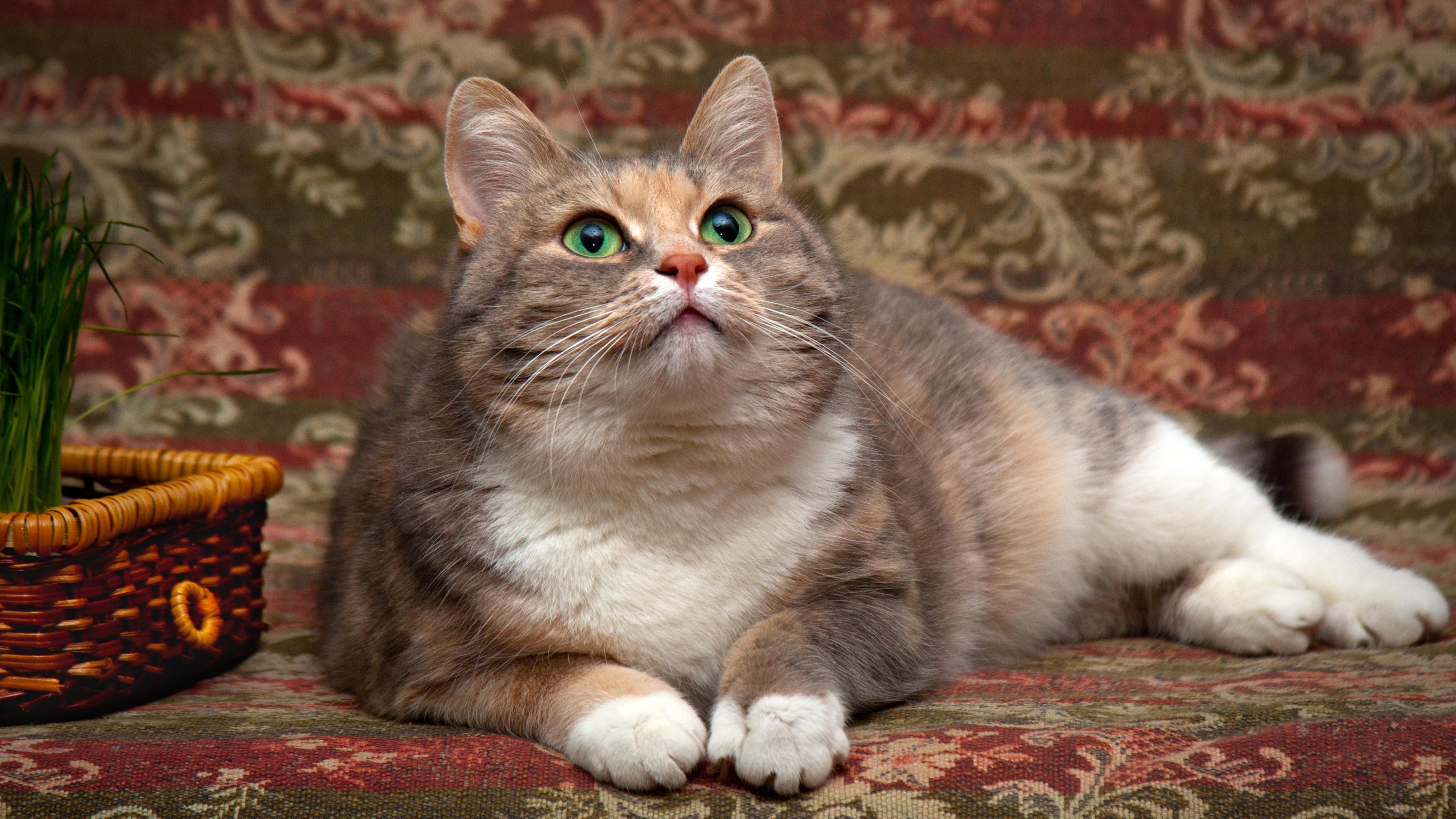 Картинка: Мордочка, кошка, пушистая, красивая, смотрит, вверх