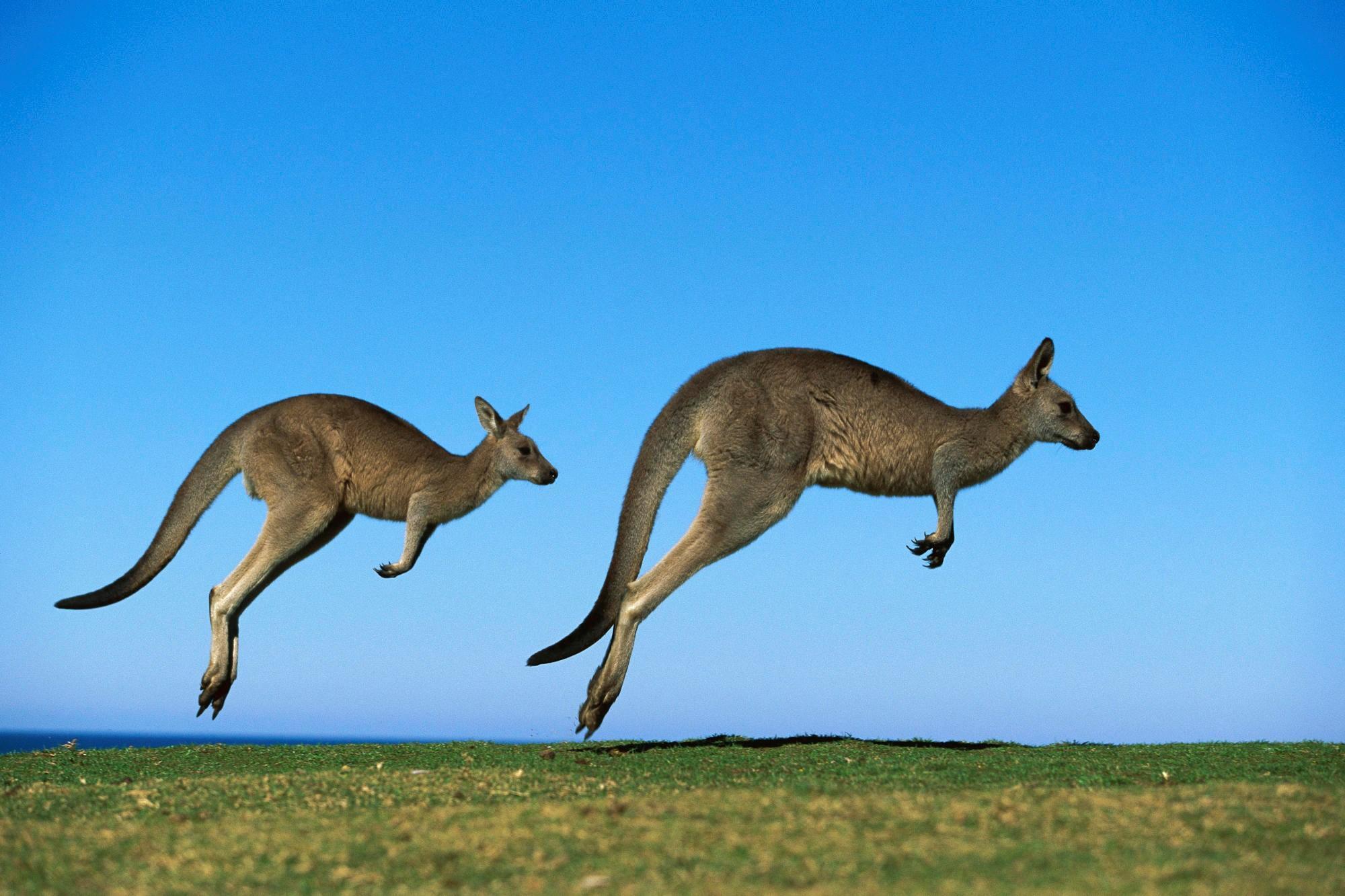 Картинка: Кенгуру, прыгают, поле, небо, горизонт