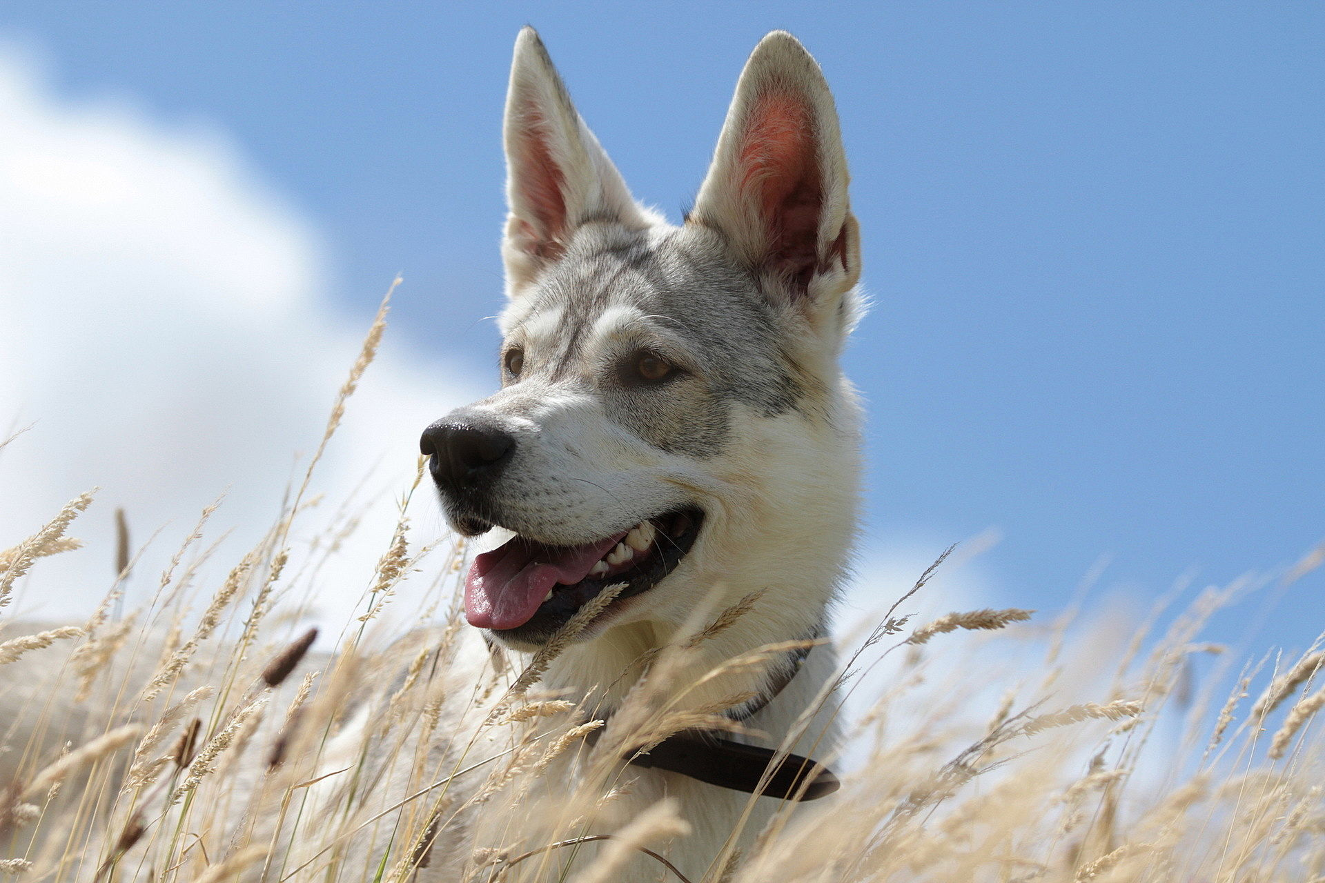 Image: Dog, face, field, ears, sky