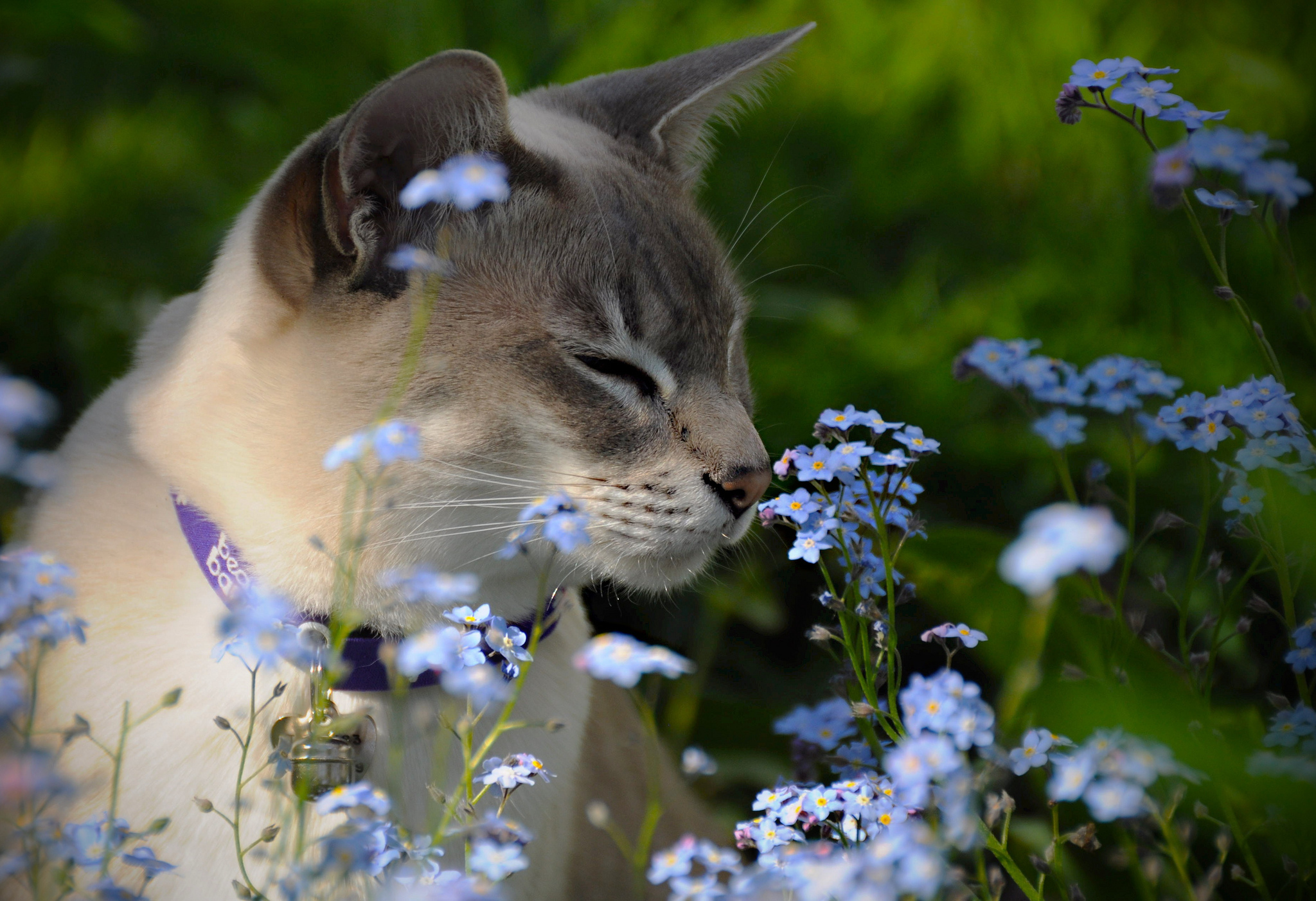 Image: Cat, flowers, field, sniffing, collar