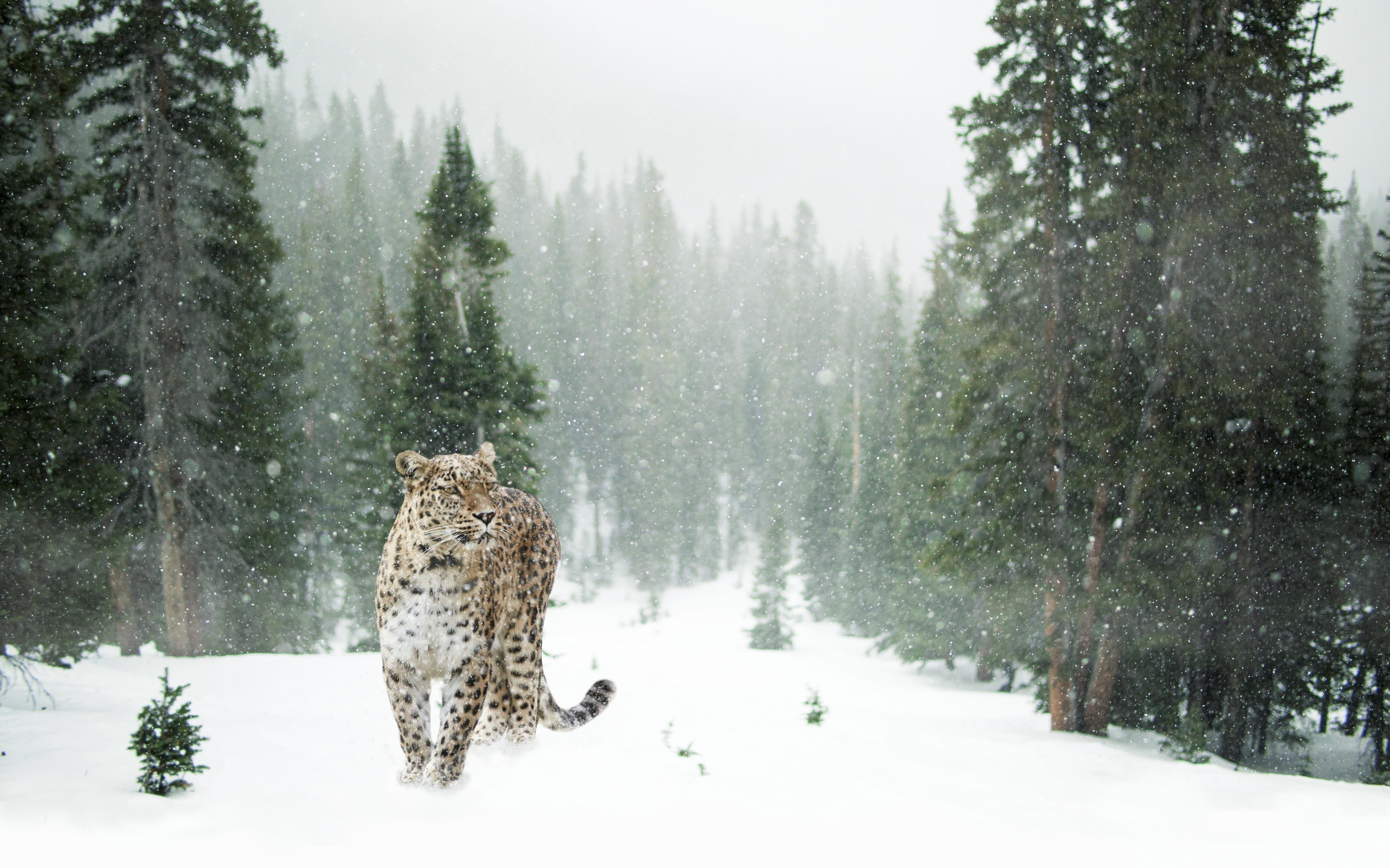 Картинка: Дальневосточный, леопард, зима, снег, лес, деревья, зелёные, поляна, хищник, кошка