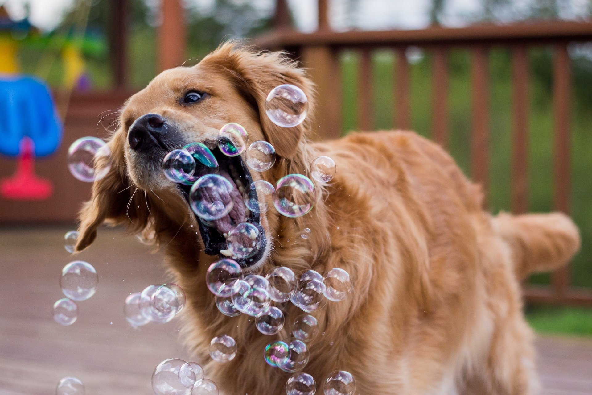 Image: Dog, golden, retriever, soap, bubbles, catches, plays