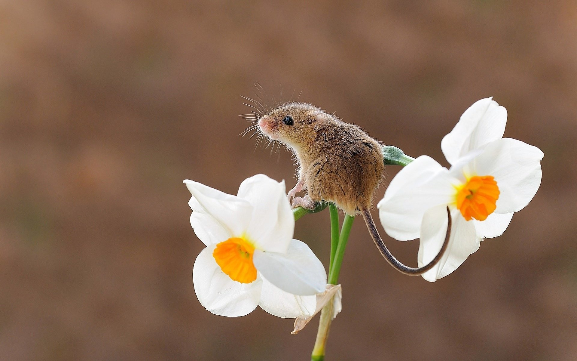 Image: Mouse, baby, gray, sitting, flower, Narcissus