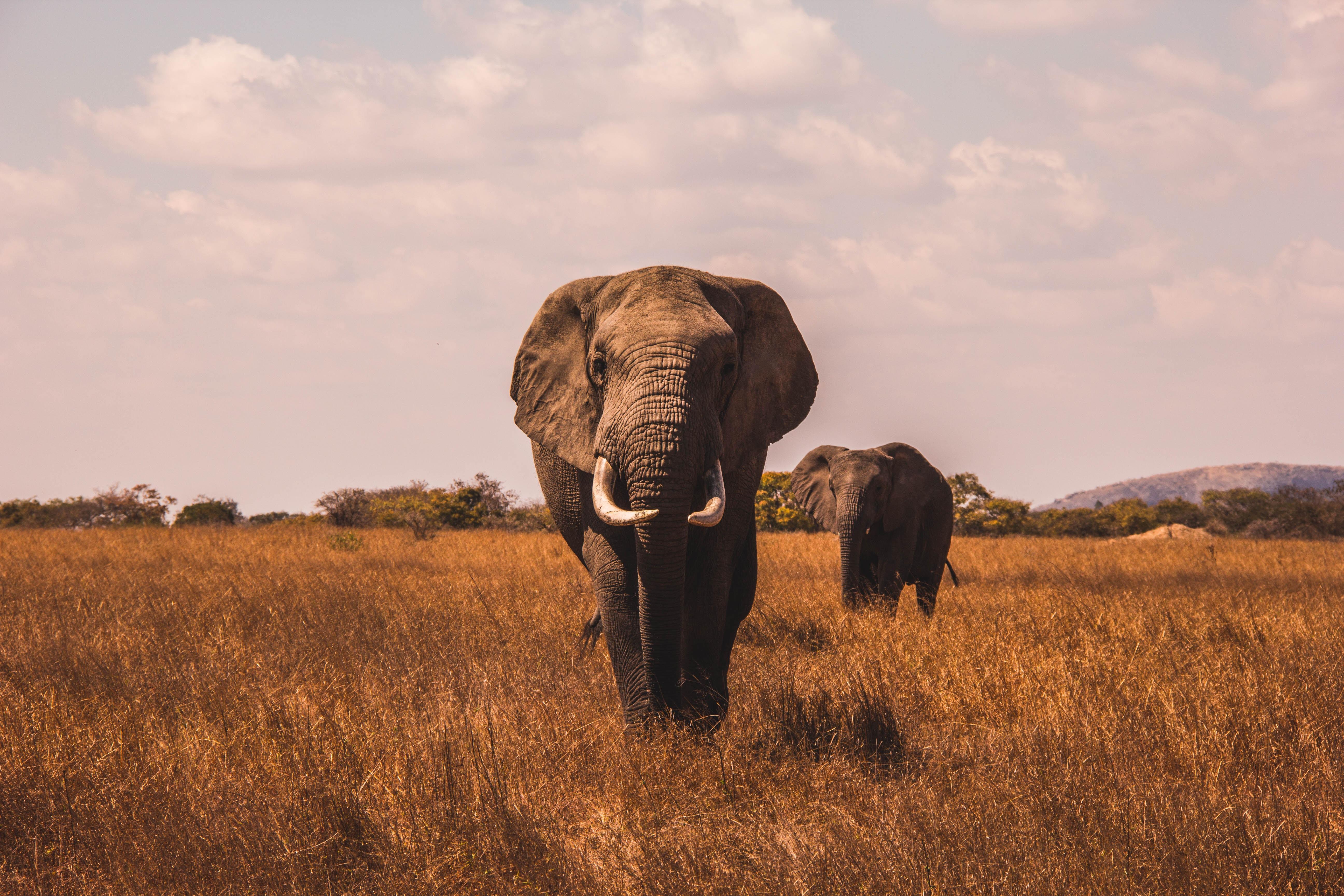 Картинка: Слоны, трава, идёт, небо, поле