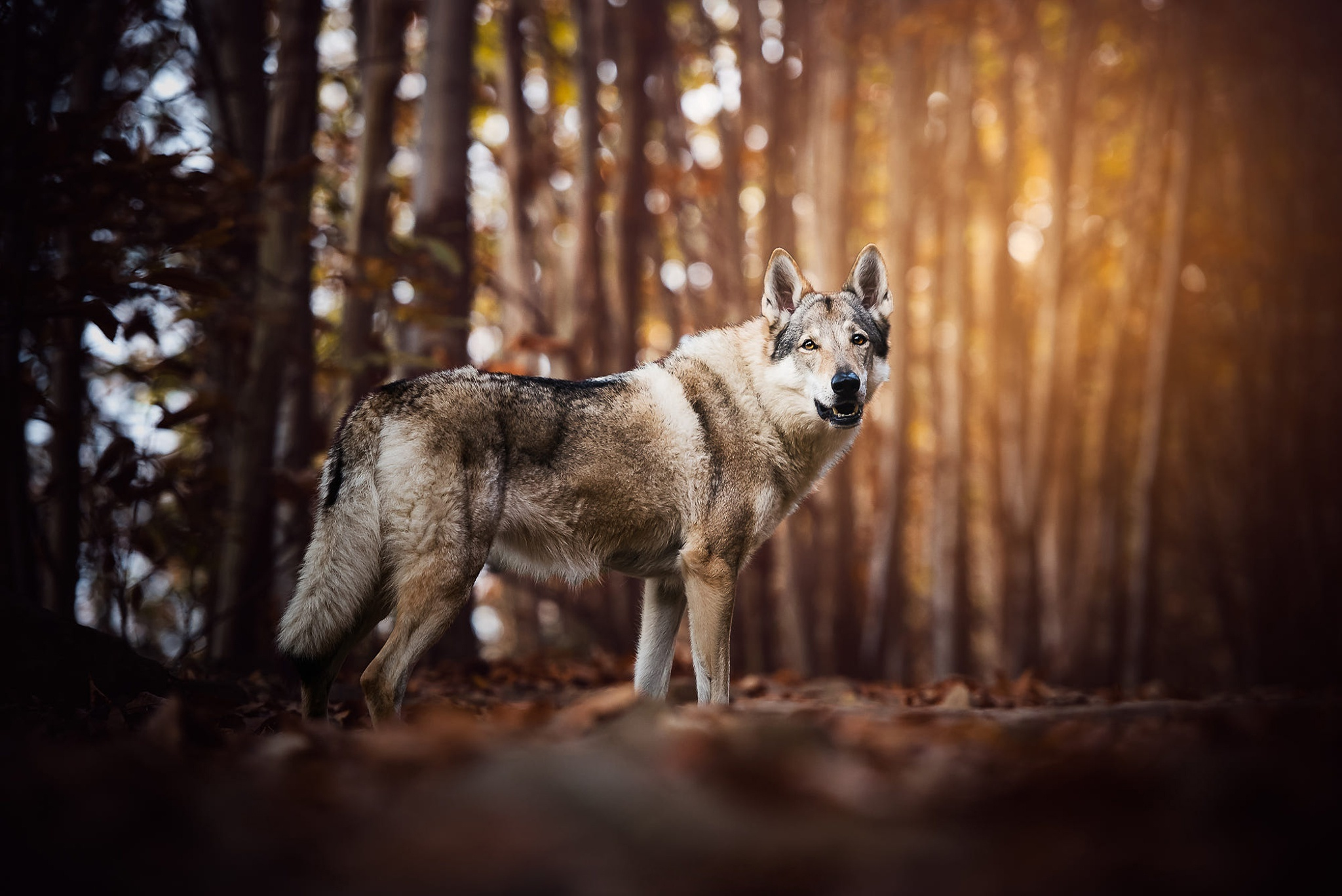 Картинка: Волк, смотрит, лес, деревья
