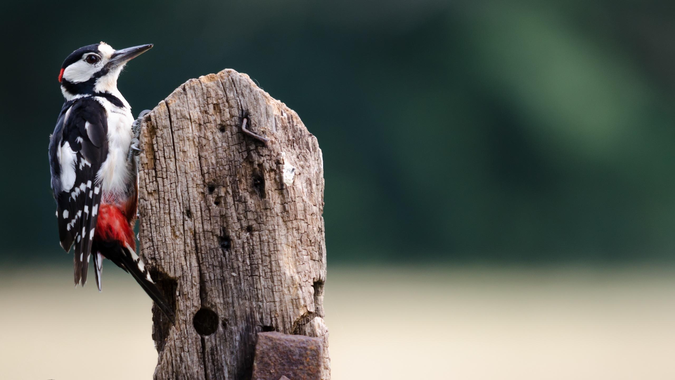 Image: Bird, woodpecker, tree, sitting, blurred background, looks