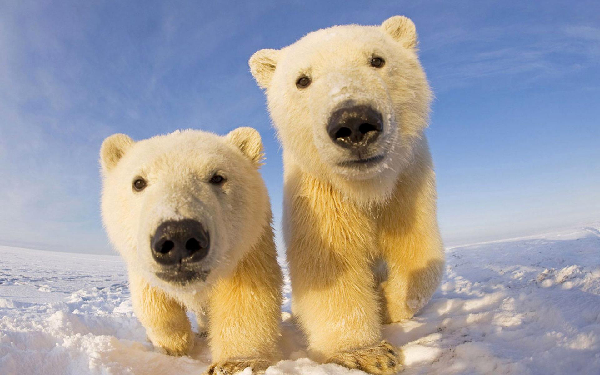 Картинка: Медведь, белый, пара, снег