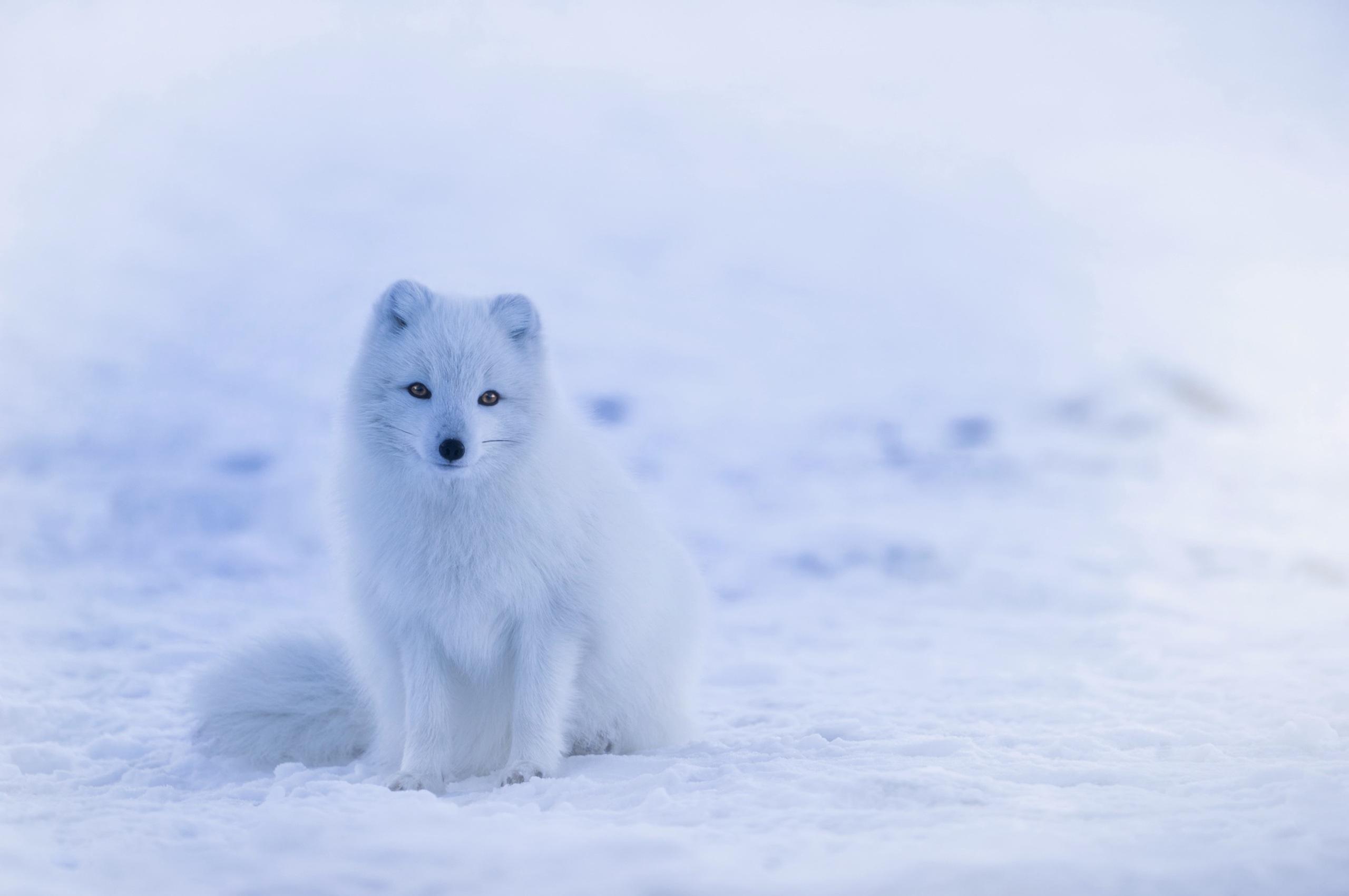 Картинка: Песец, белая, полярная, лисица, лиса, снег, зима