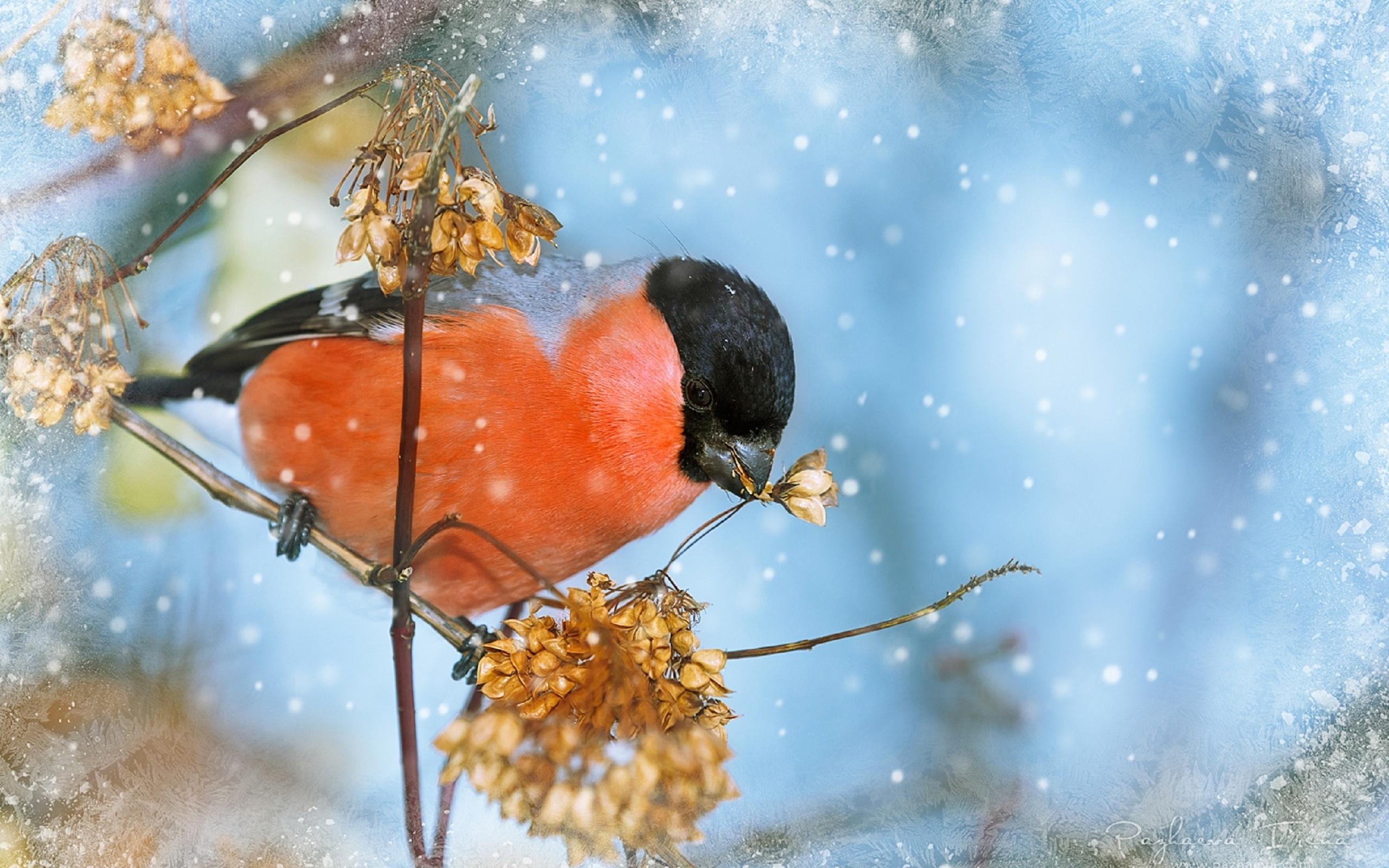 Картинка: Снегирь, веточка, снег