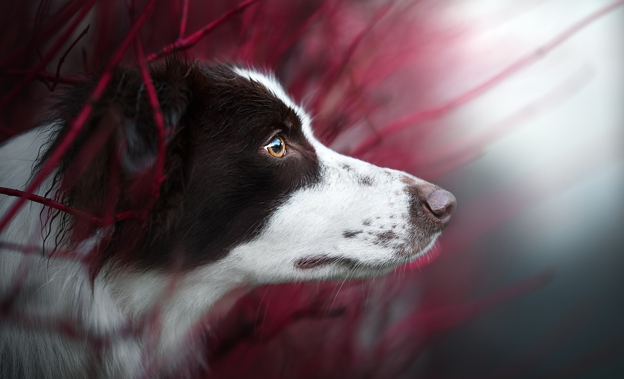 Image: Dog, border collie, breed, snout, watching, blurred background