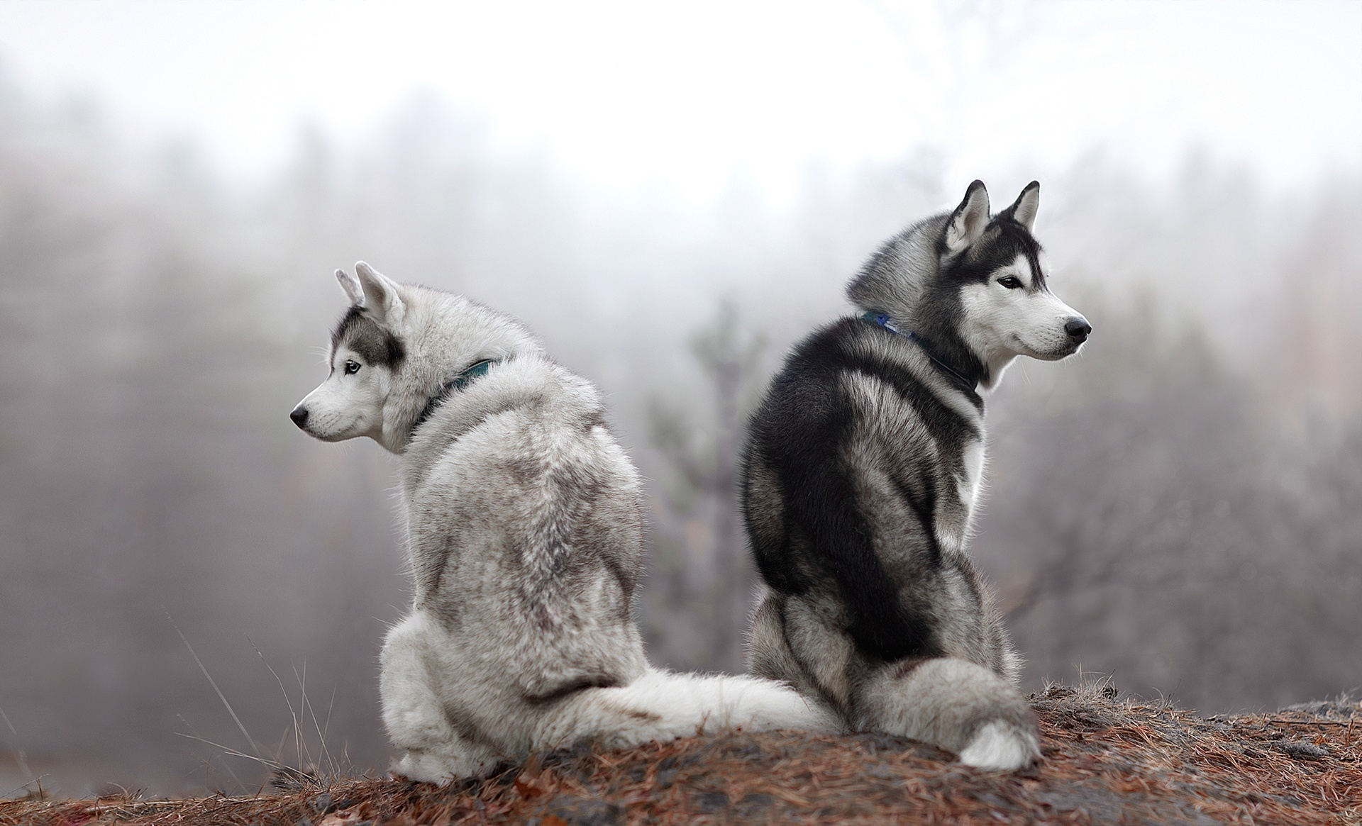 Картинка: Пара, собаки, хаски, порода, природа, сидят, холм, лес, туман
