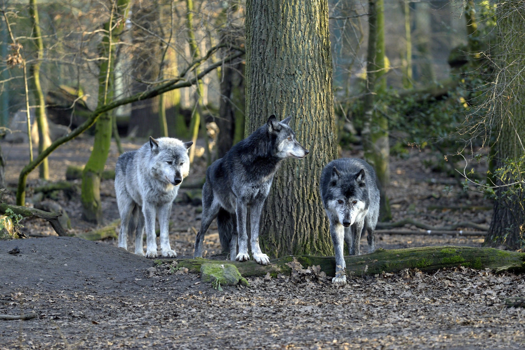 Картинка: Волки, стая, лес, деревья, листья