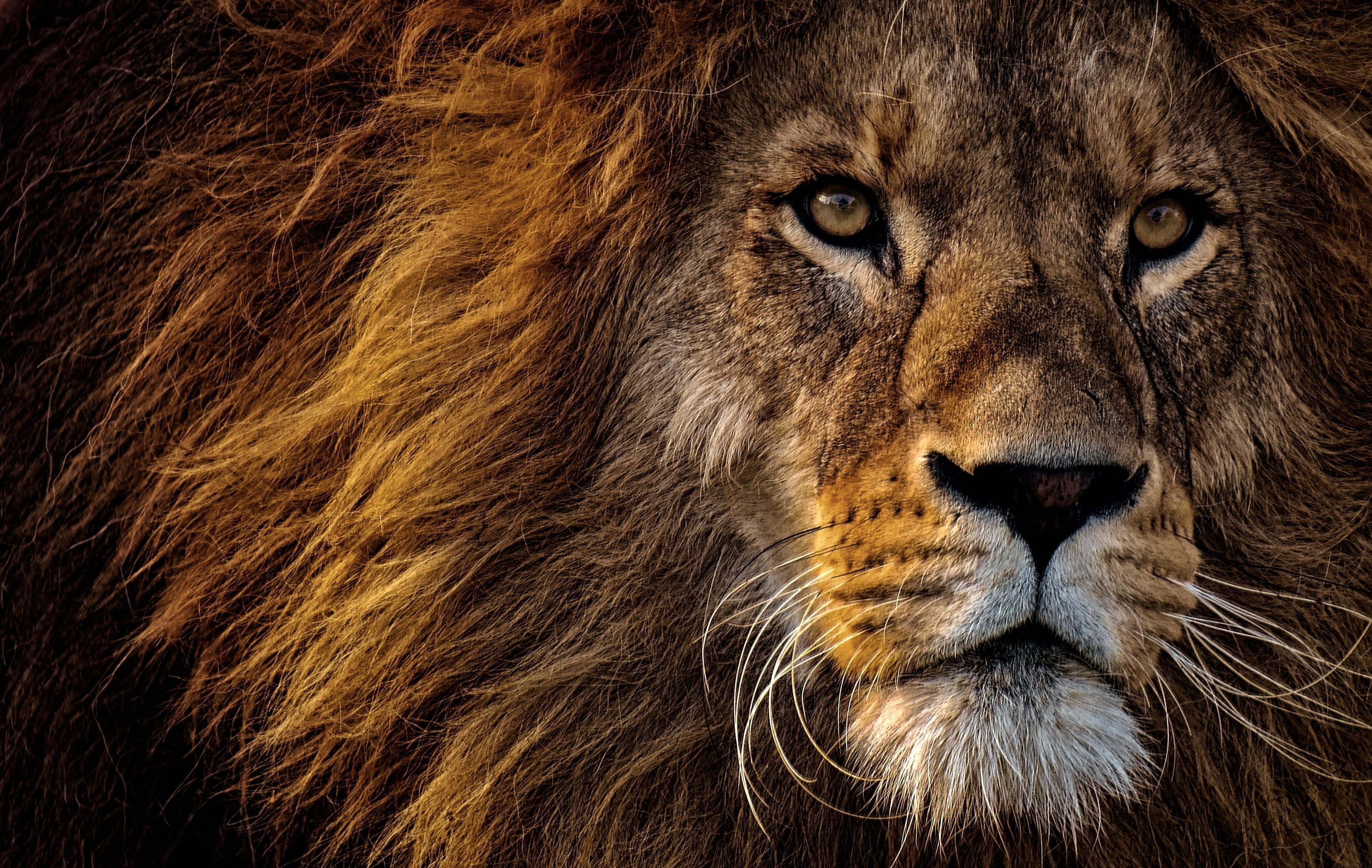 Image: Lion, king, king of beasts, muzzle, predator, mane