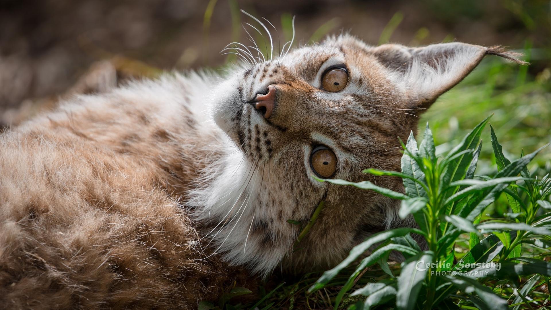 Картинка: Рысь, морда, глаза, ушки, трава, отдыхает, фотограф, Cecilie Sonsteby
