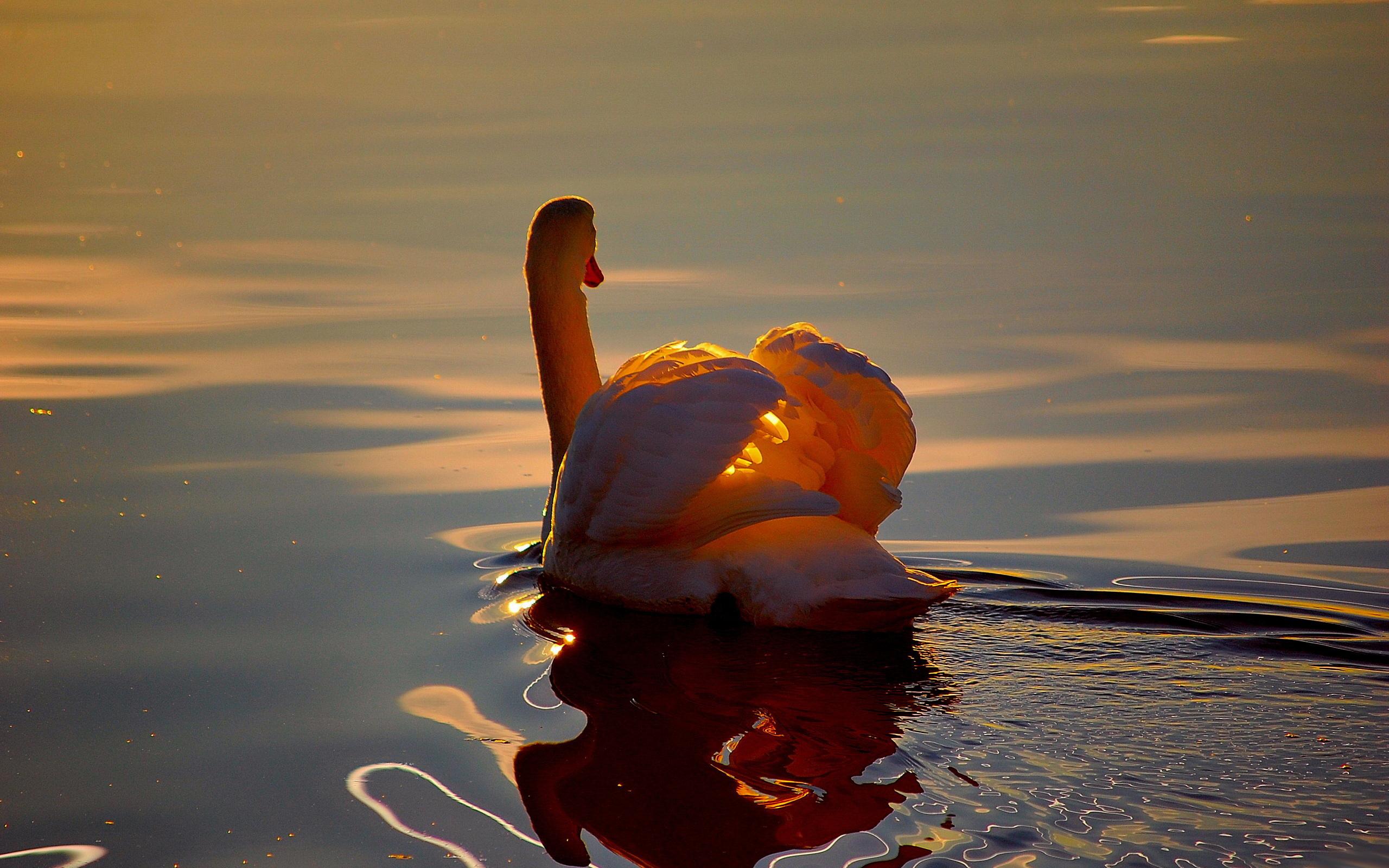 Картинка: Лебедь, закат, вода, плавает