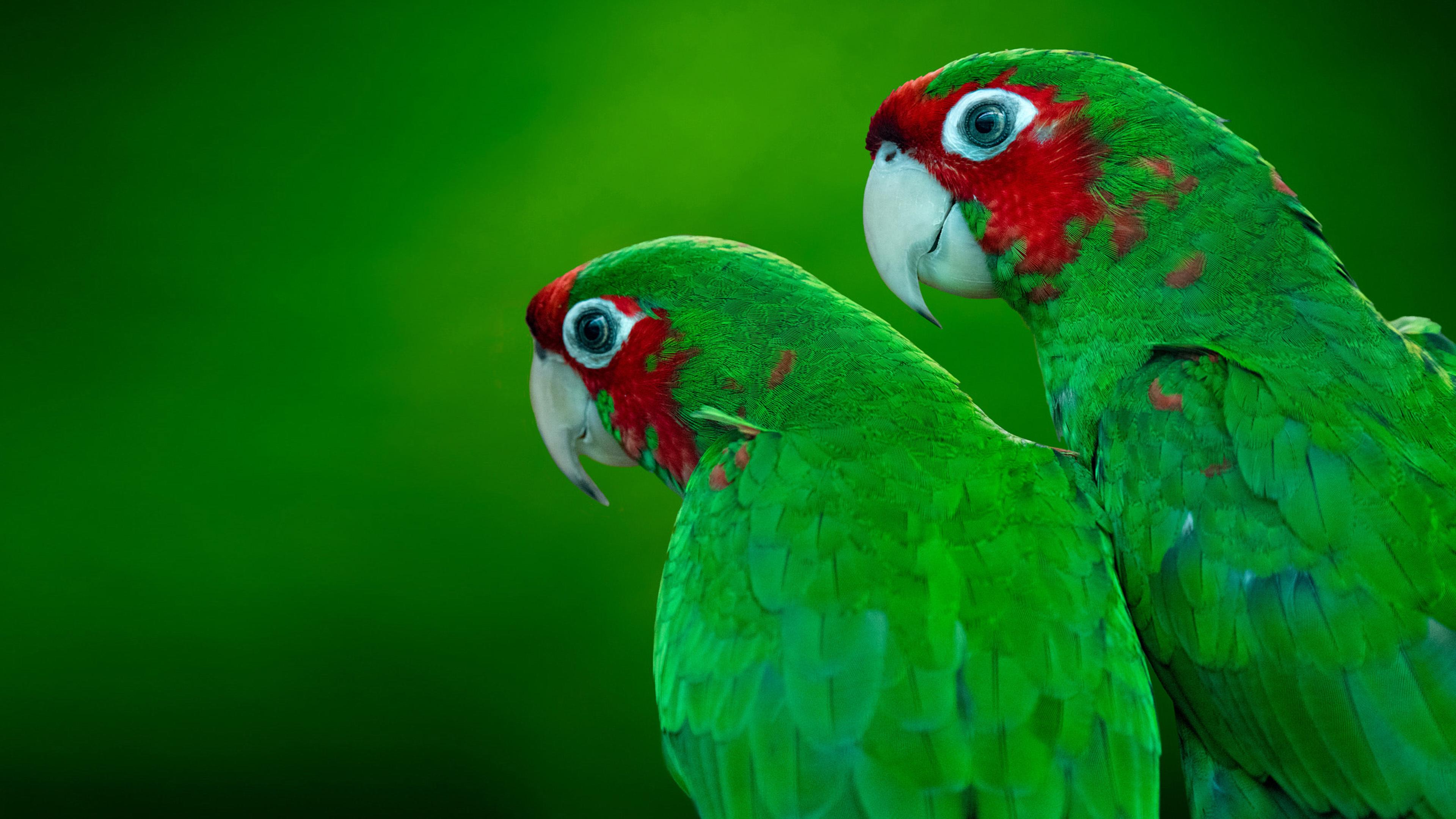 Картинка: Попугаи, пара, зелёные, краснощёкие