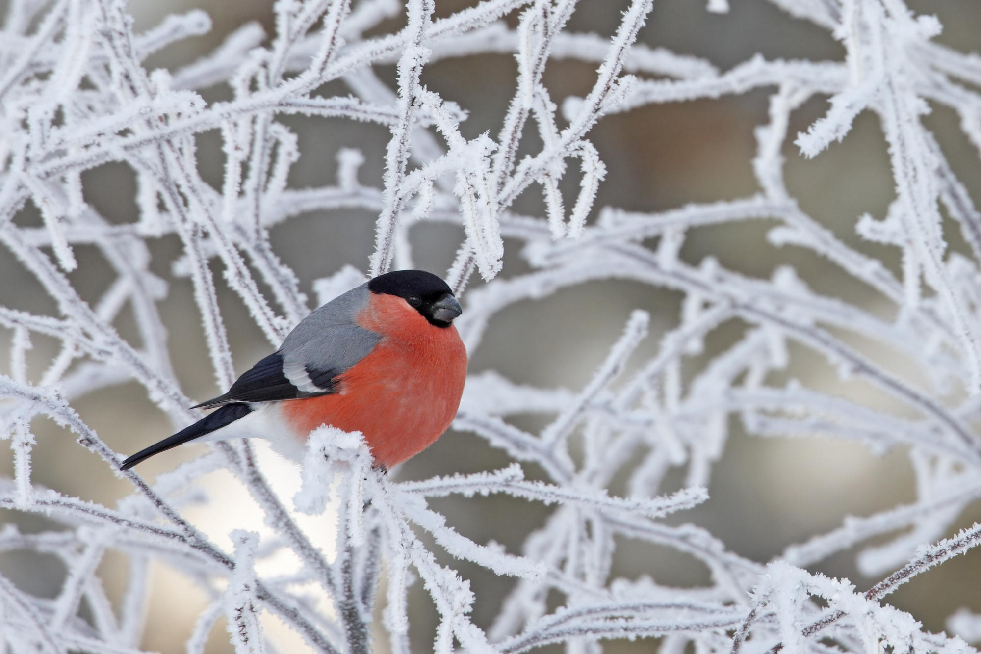 Картинка: Снегирь, иней, веточки, зима