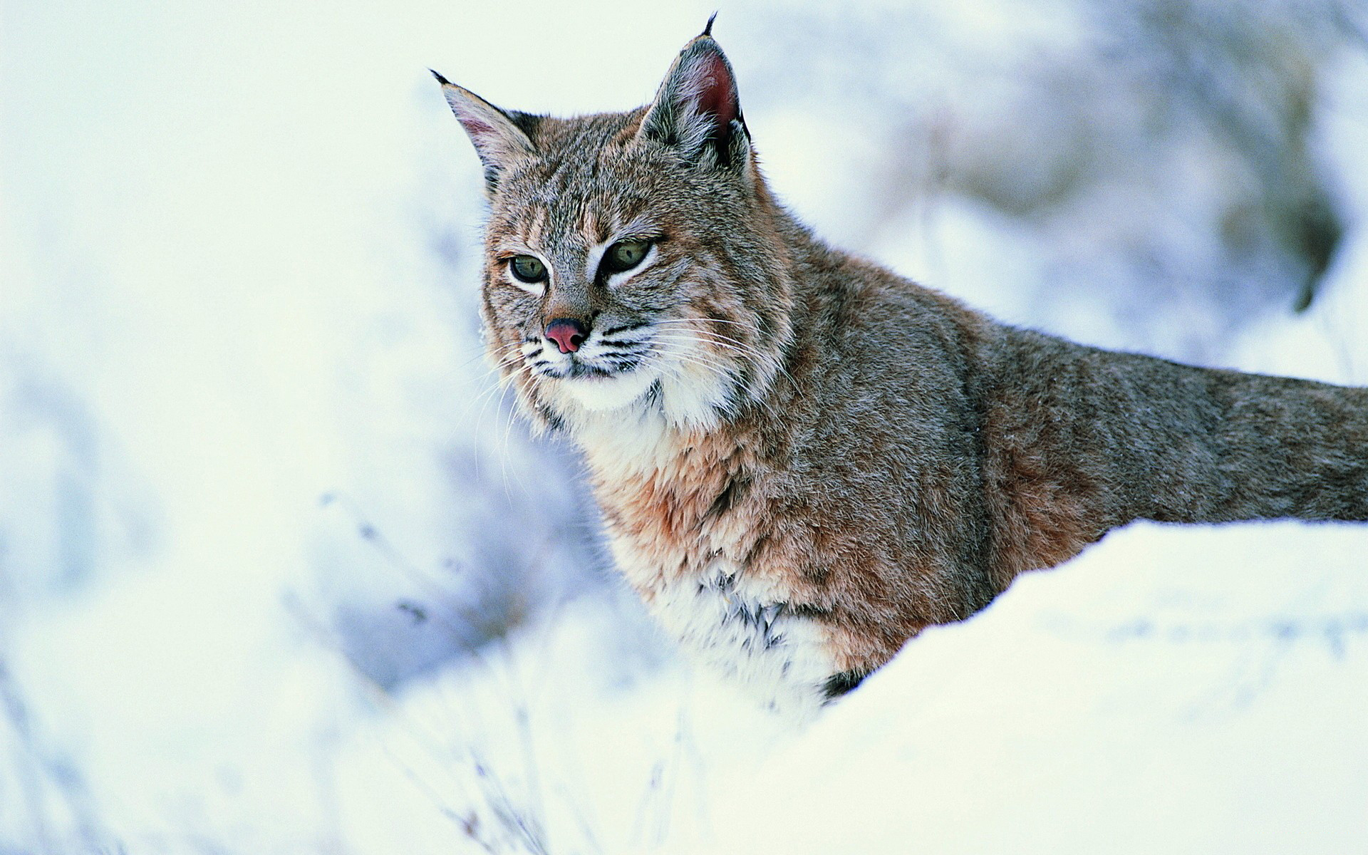 Image: Lynx, winter, snow