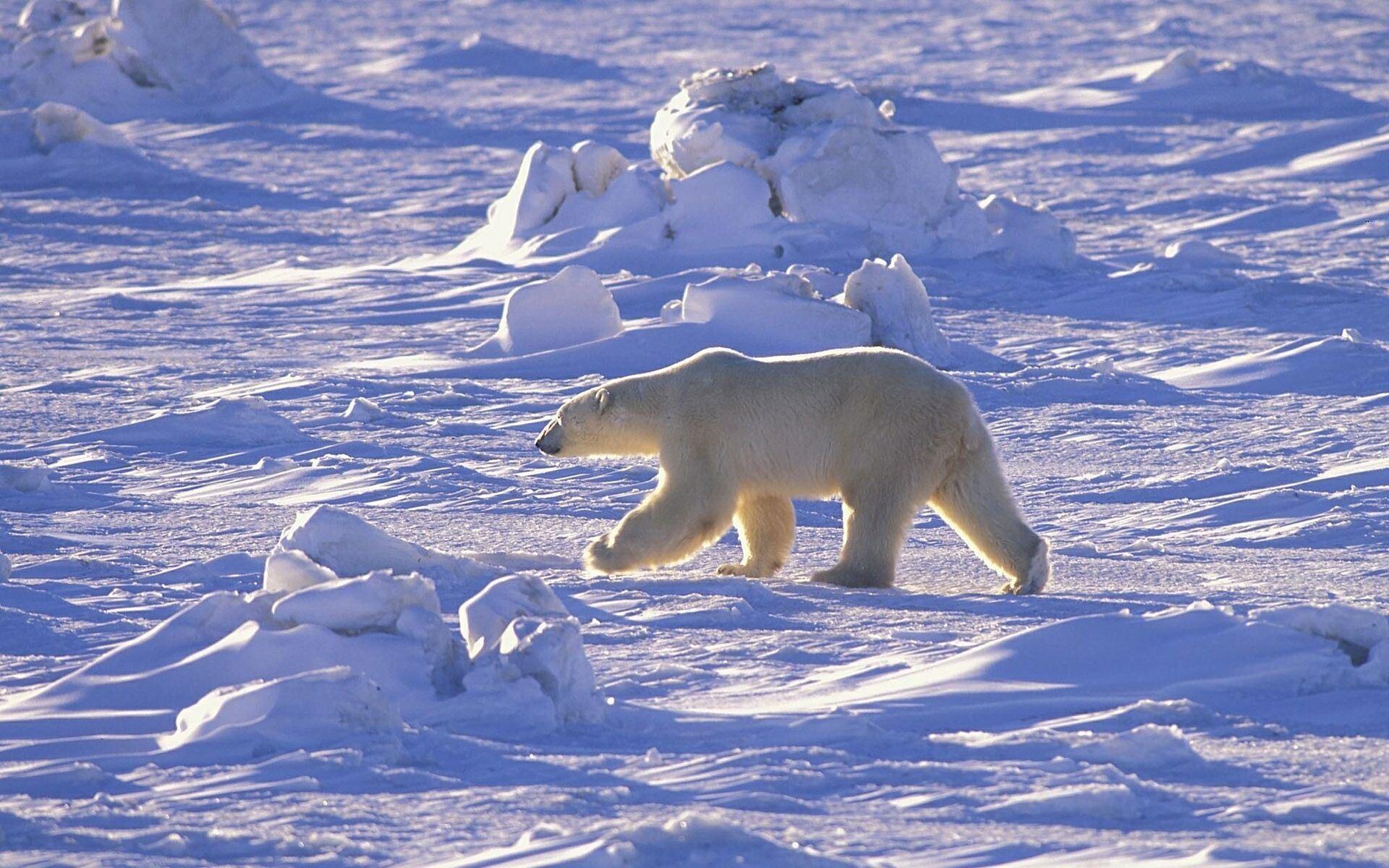 Картинка: Белый медведь, идёт, пустыня, солнечный день, снег, зима